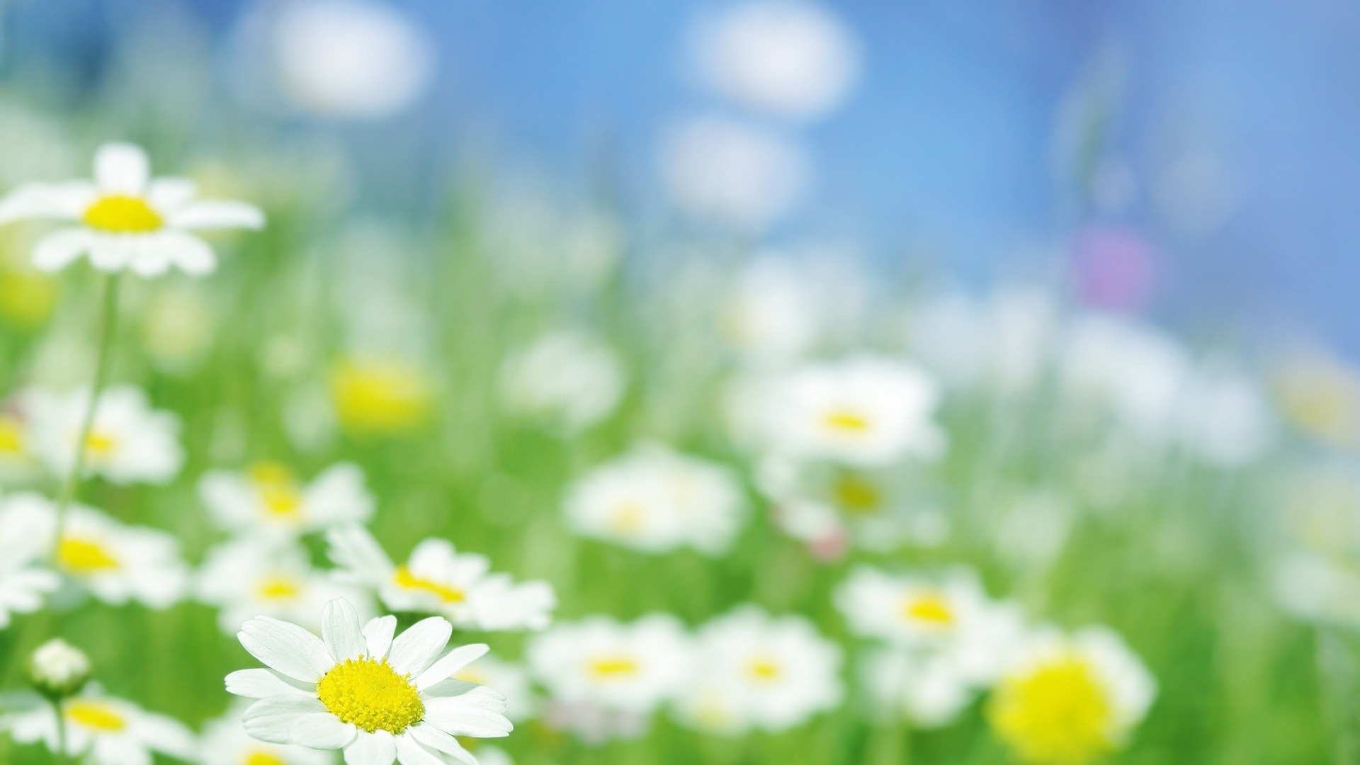 nature daisies wallpaper backgrounds field light daisy