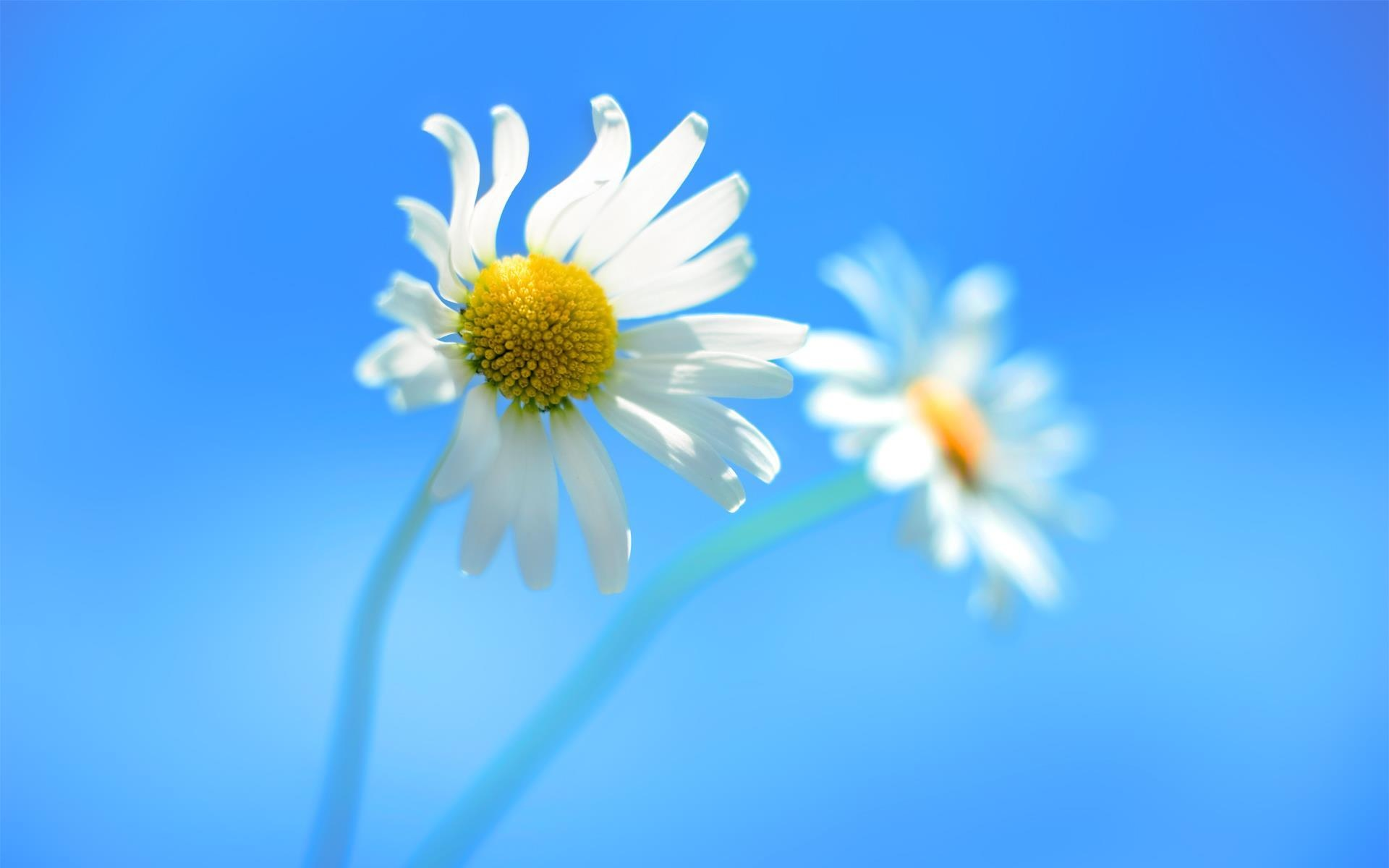Daisy blue background Wallpaper in 1920x1200 Widescreen
