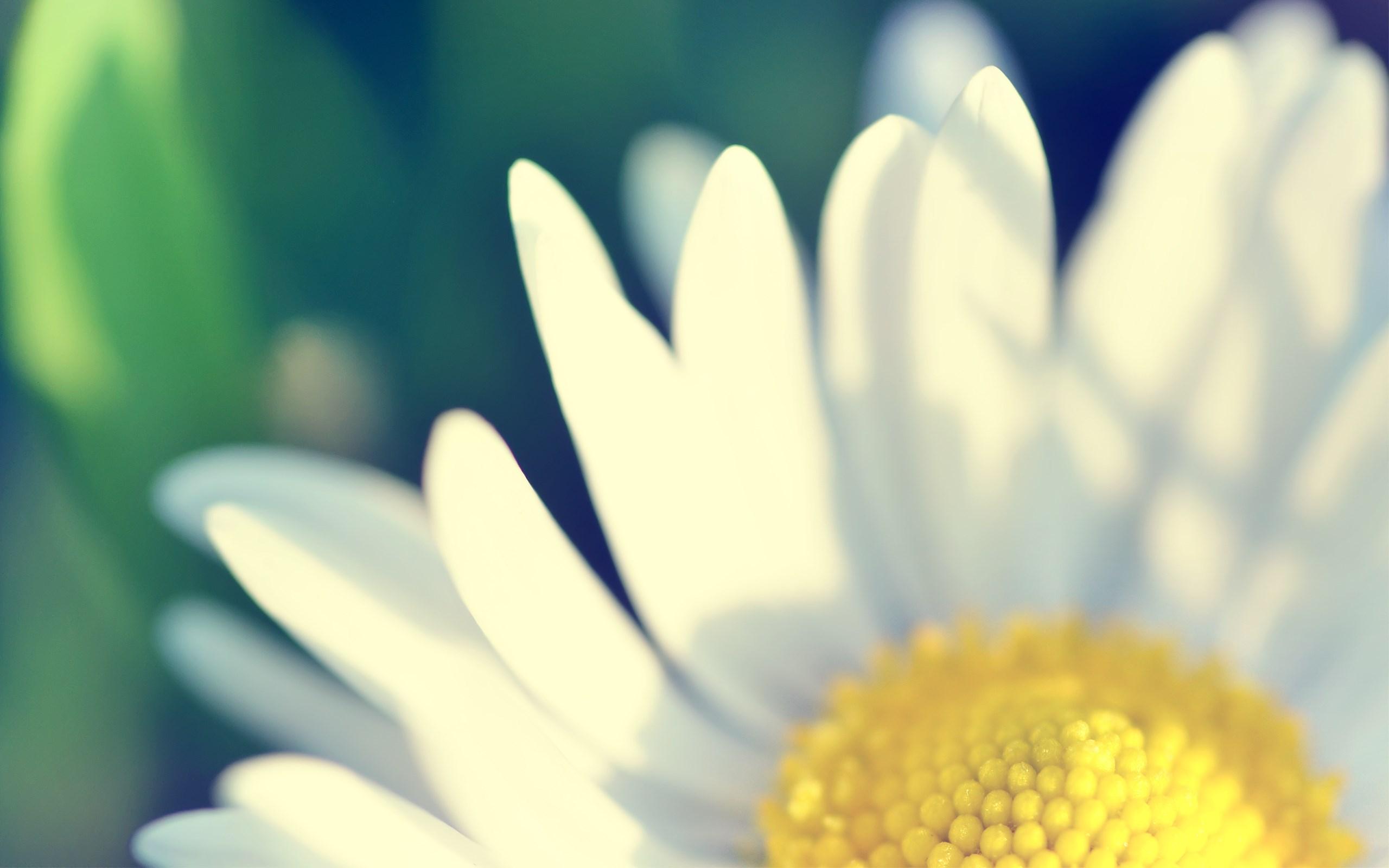 Daisy Flower Petals Macro