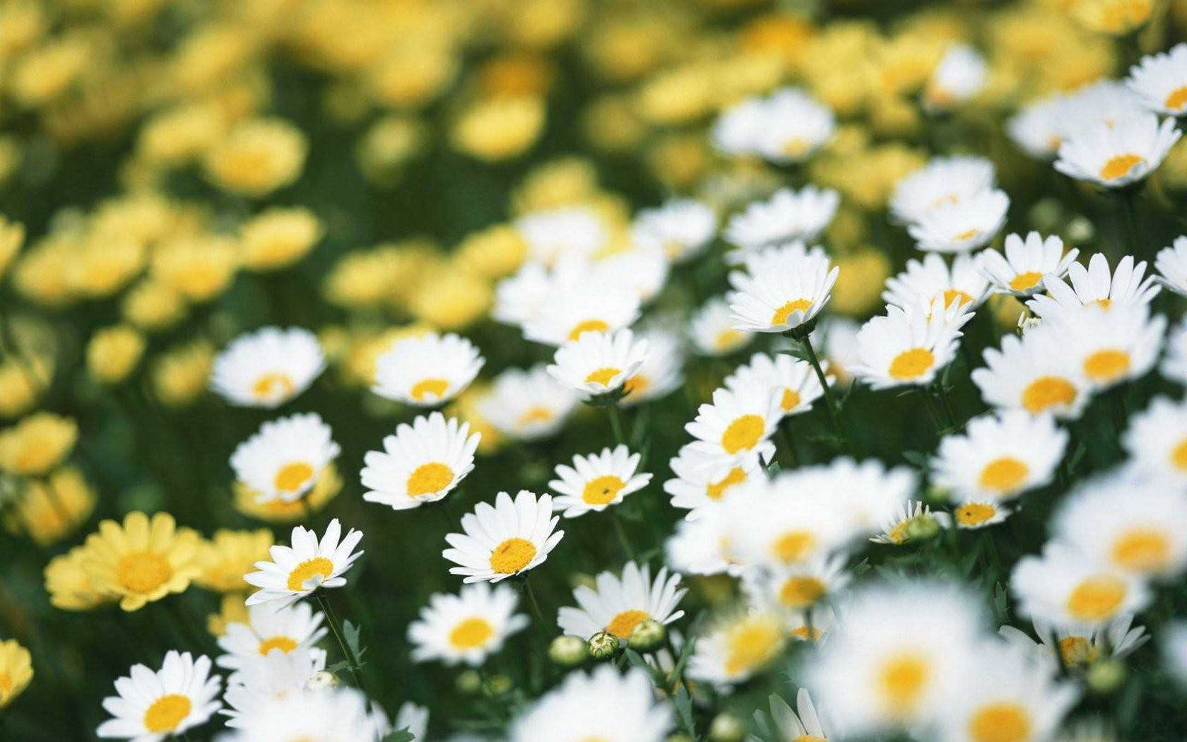 Meadow Daisy 1680×1050 Wallpaper 868328
