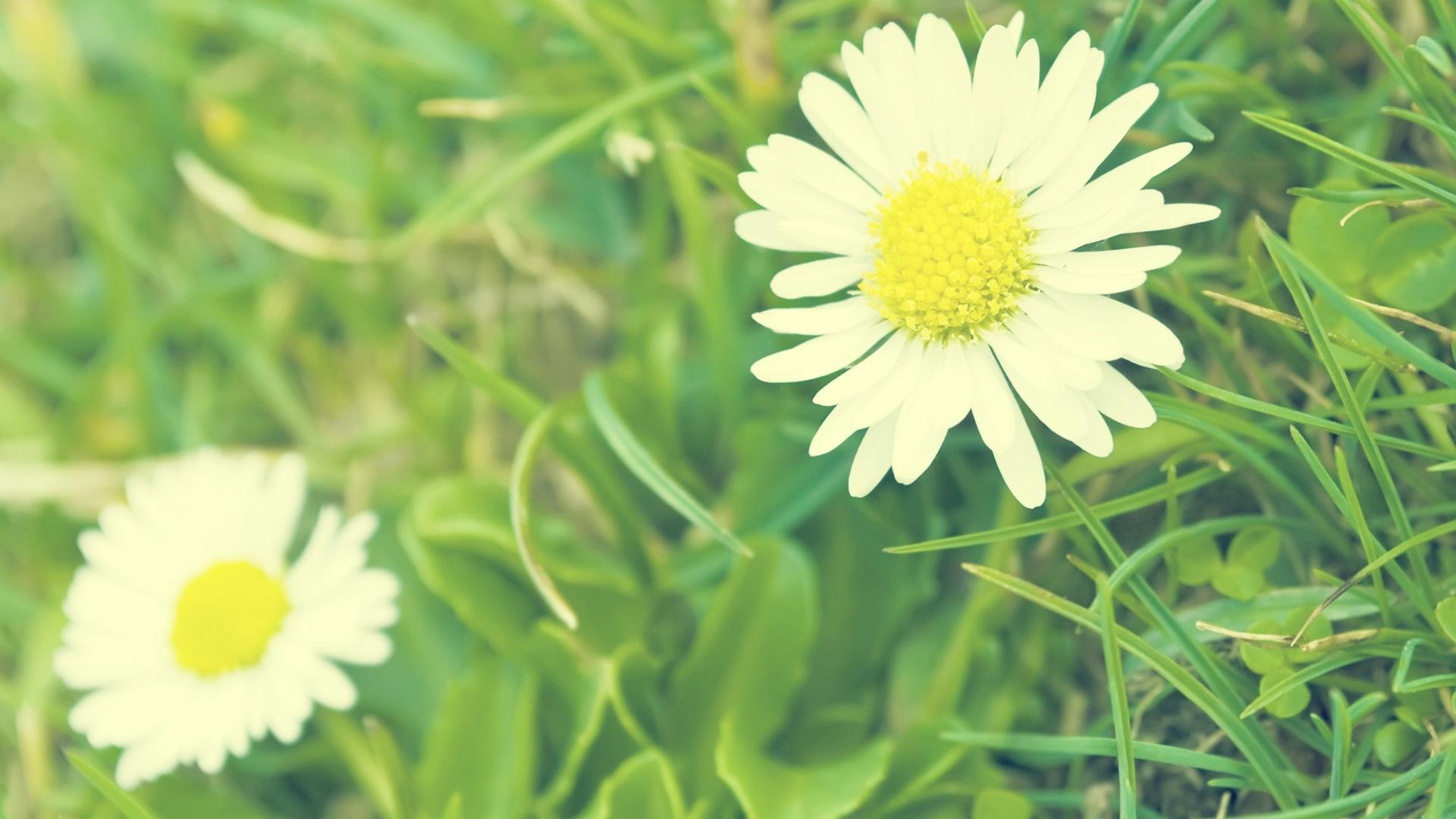... Daisy Wallpaper · Daisy Wallpaper