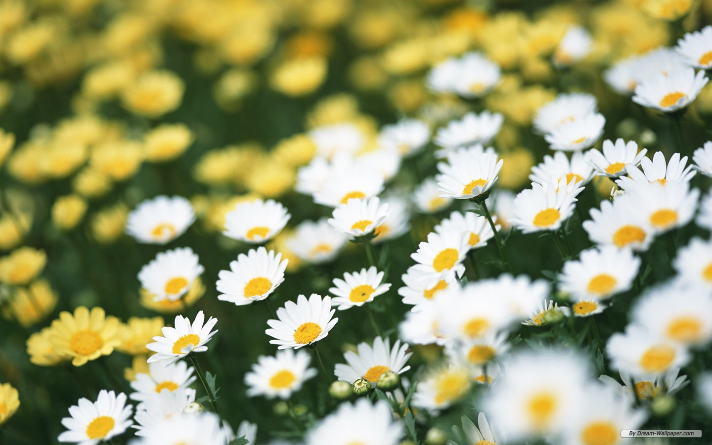 Image for Daisy Wallpaper Background