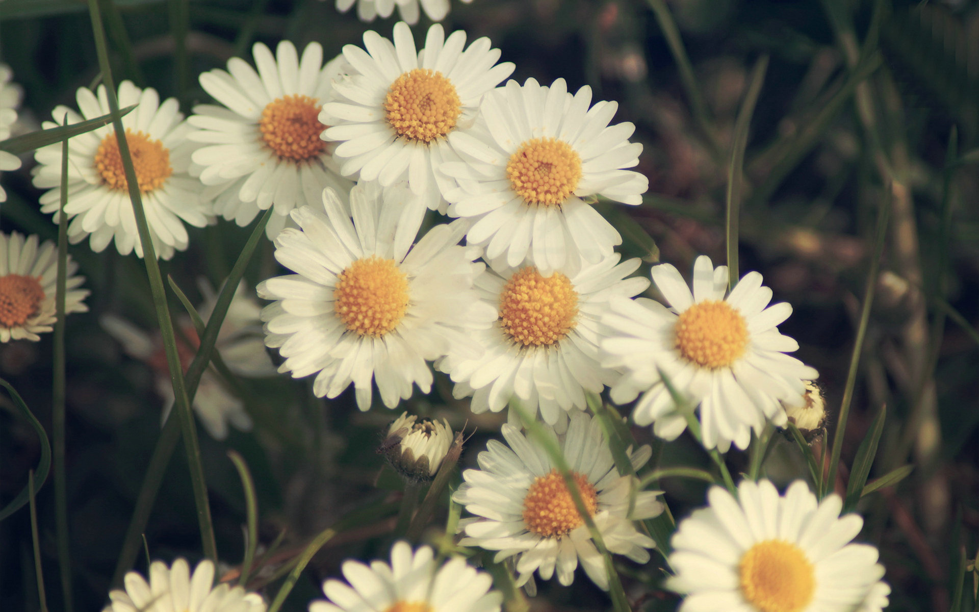 Daisy Bokeh Wallpaper