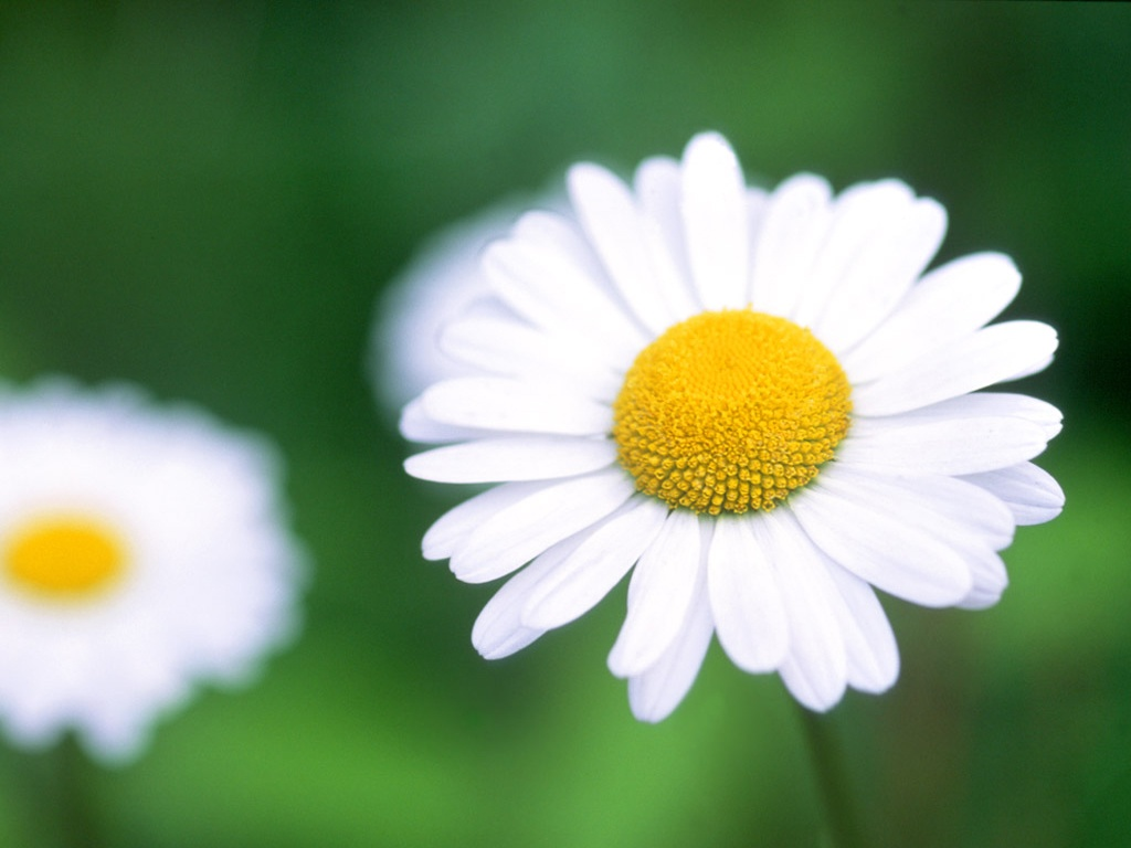 Daisy 22187