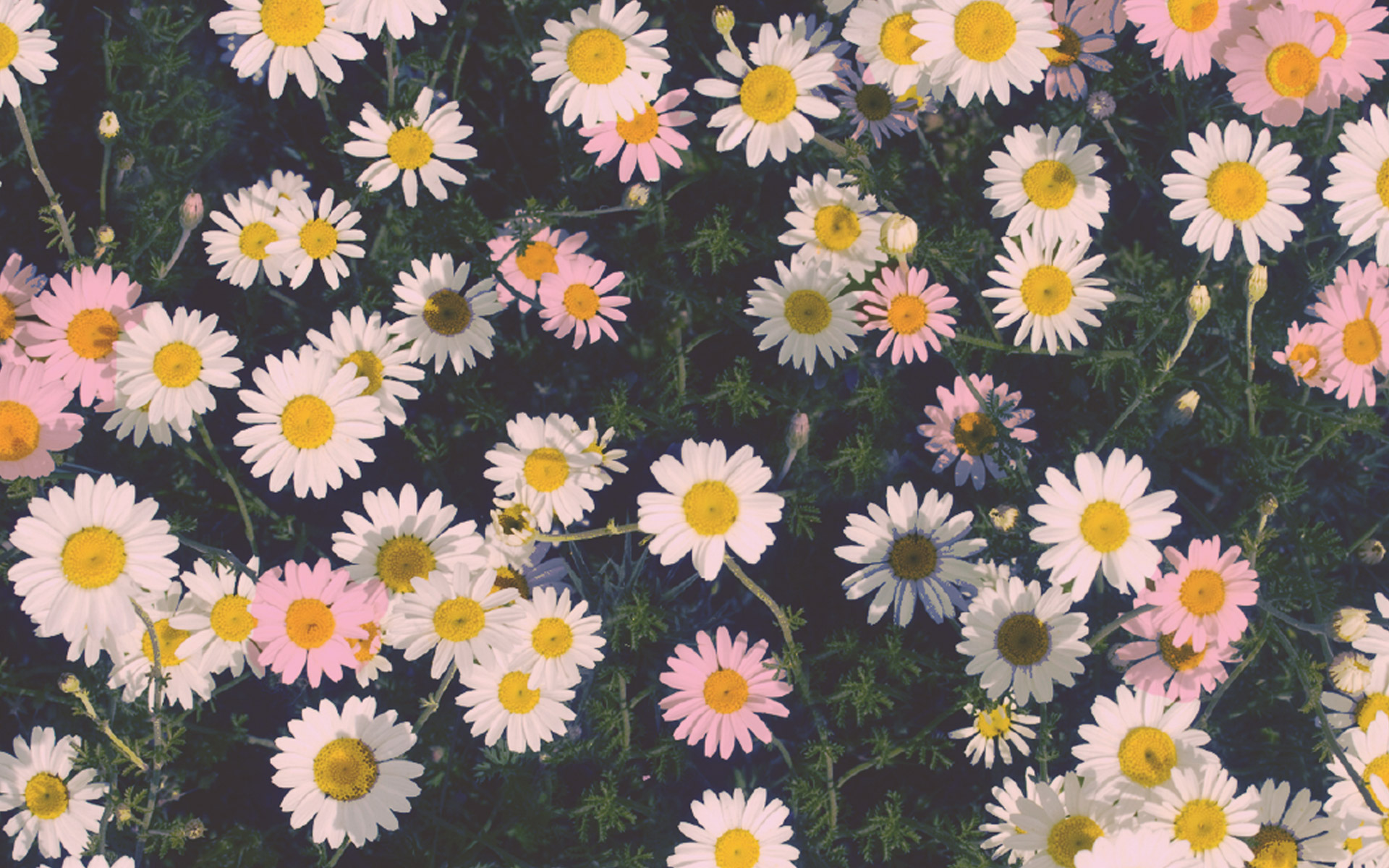 "Download the following Lovely Daisy Wallpaper 45886 by clicking the orange button positioned underneath the ""Download Wallpaper"" section."
