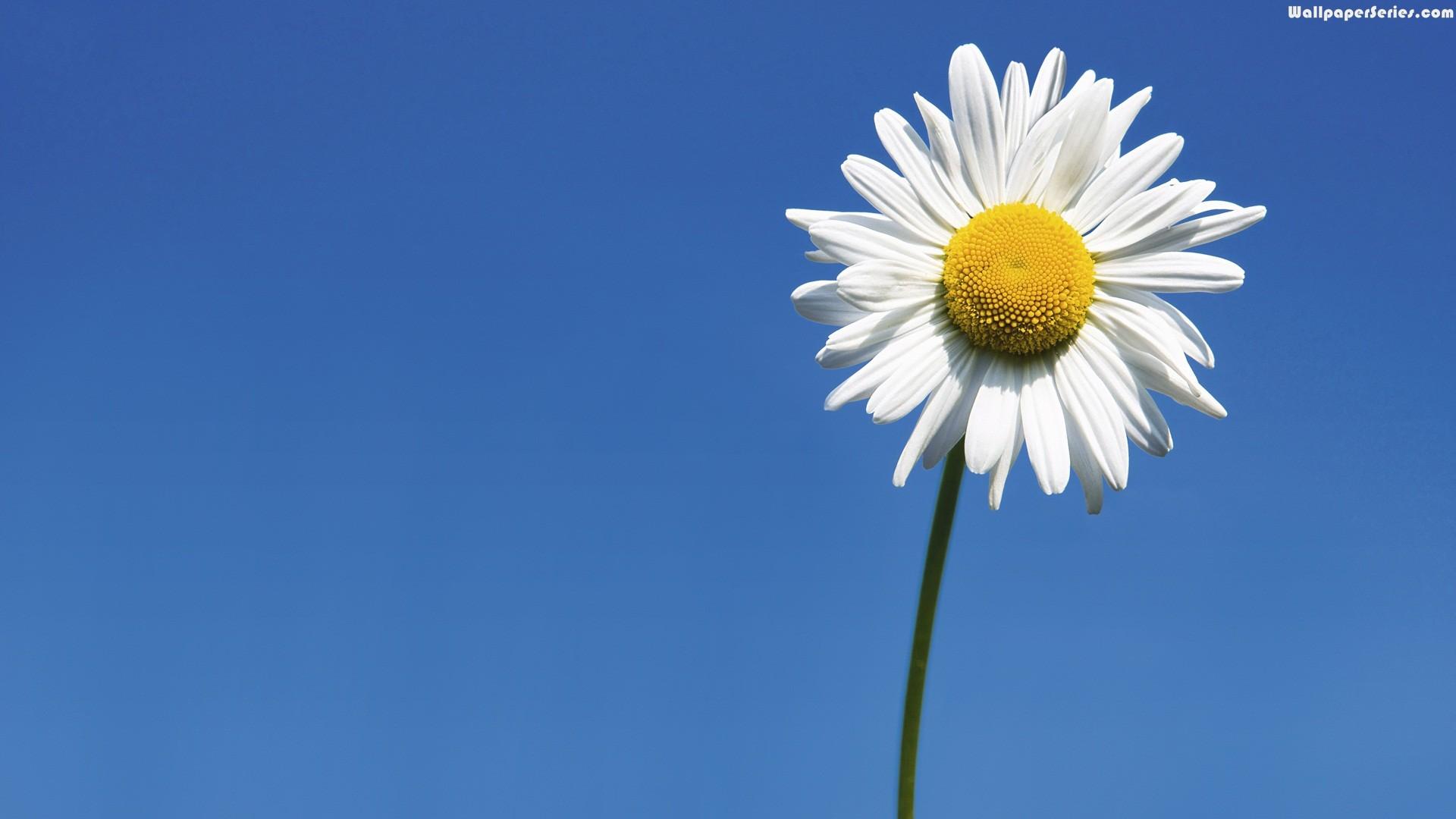 1920x1080, Daisy, Flowers, Wallpaper