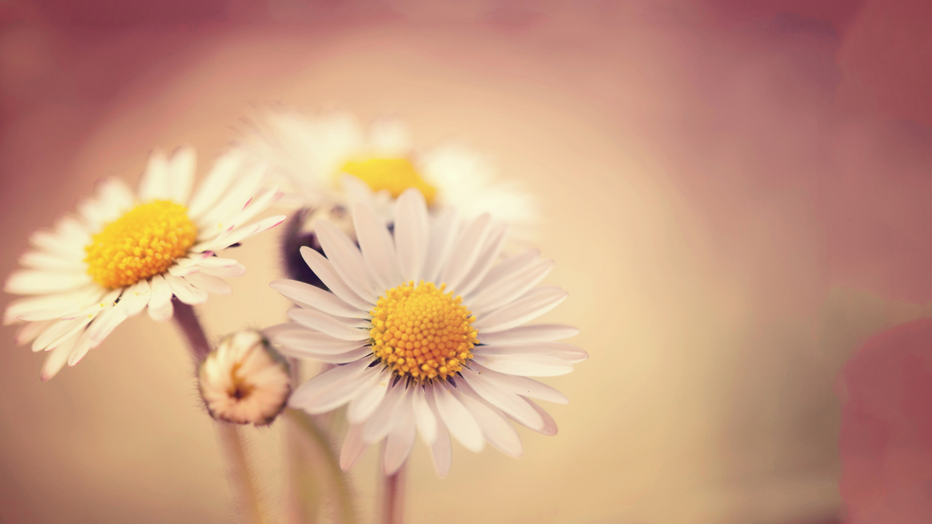 "Download the following Lovely Daisy Wallpaper 2782 by clicking the button positioned underneath the ""Download Wallpaper"" section."