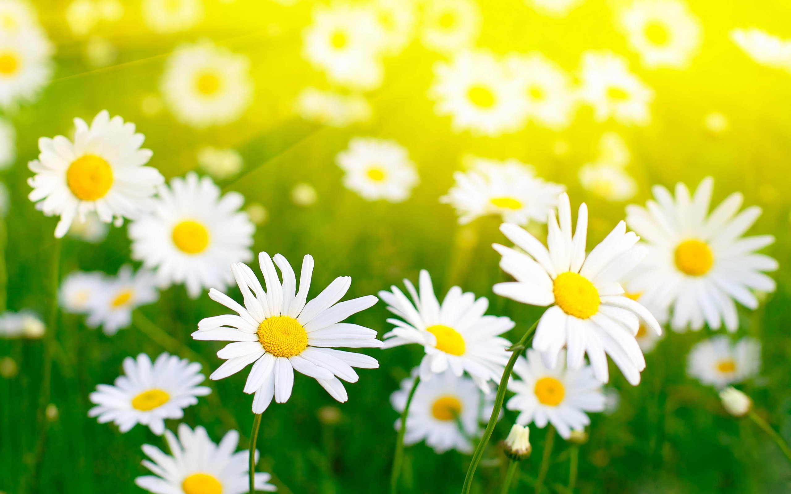 Flowers for Gt White Daisy Wallpaper 2560x1600px
