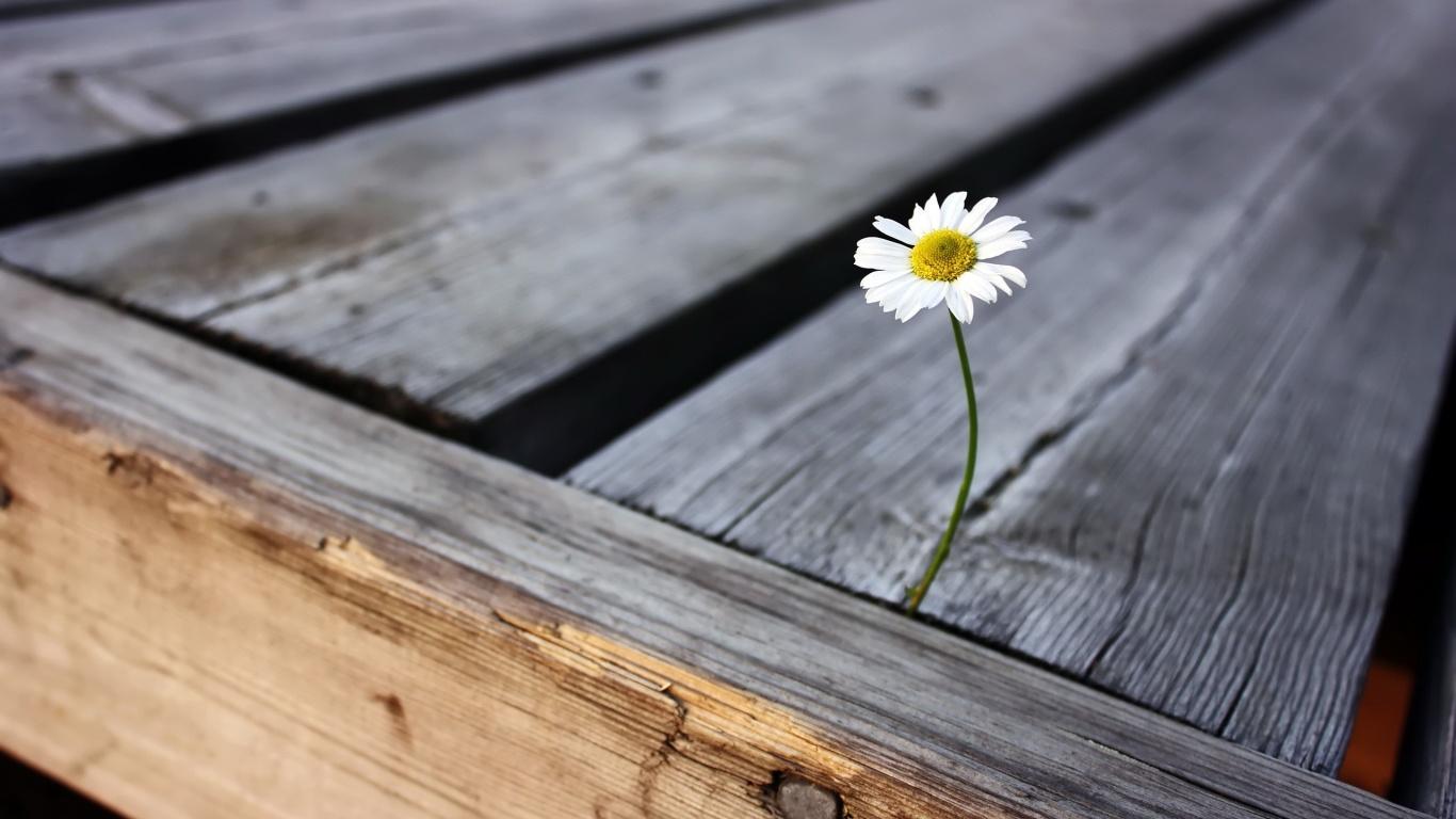 Daisy wood