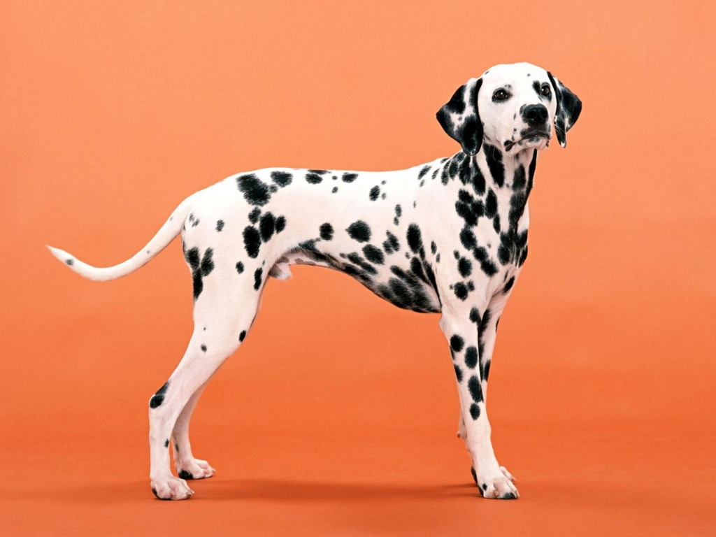 Dalmatian Dog Photos