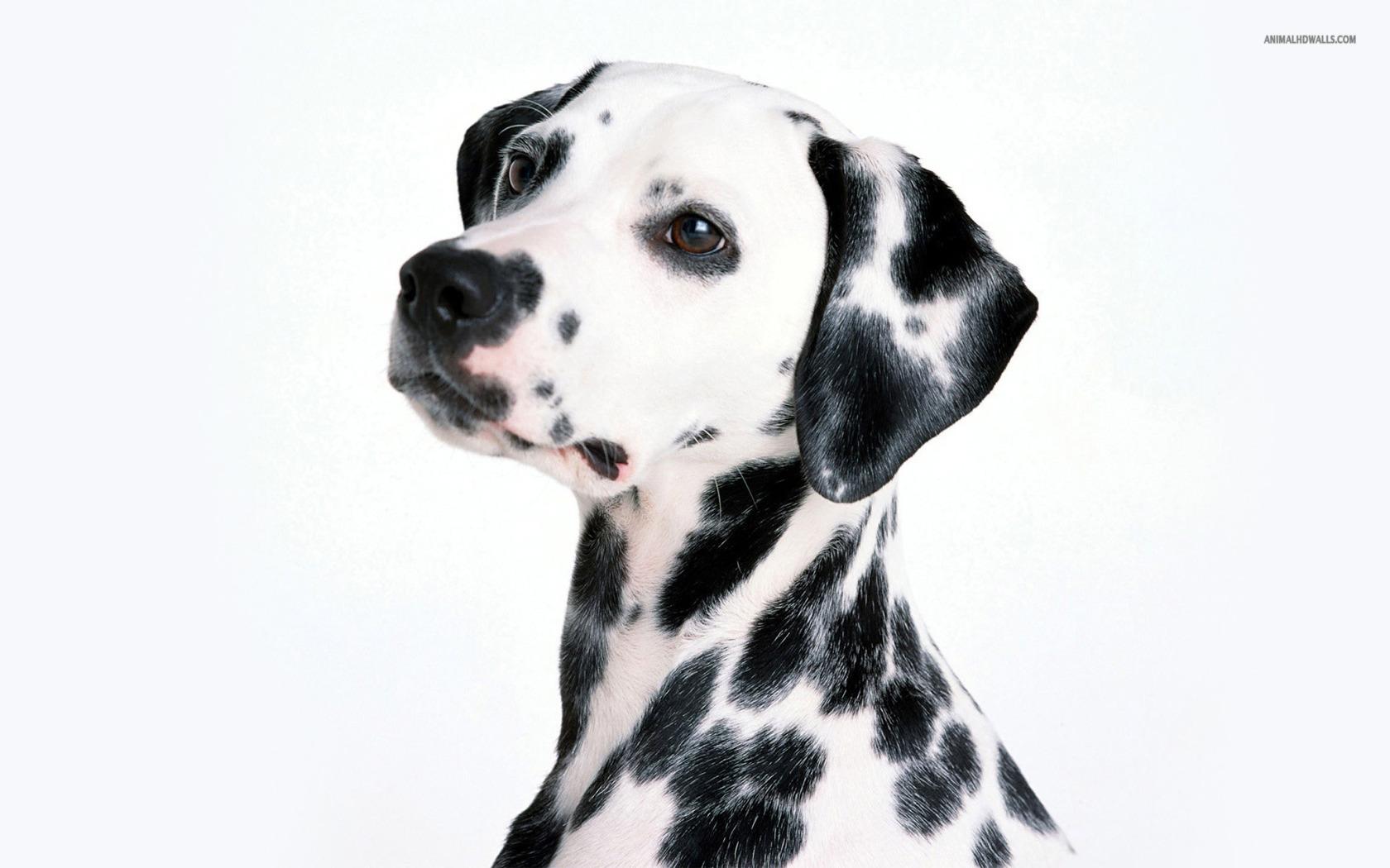 Dalmatian Wallpaper 33057 1600x1200 px