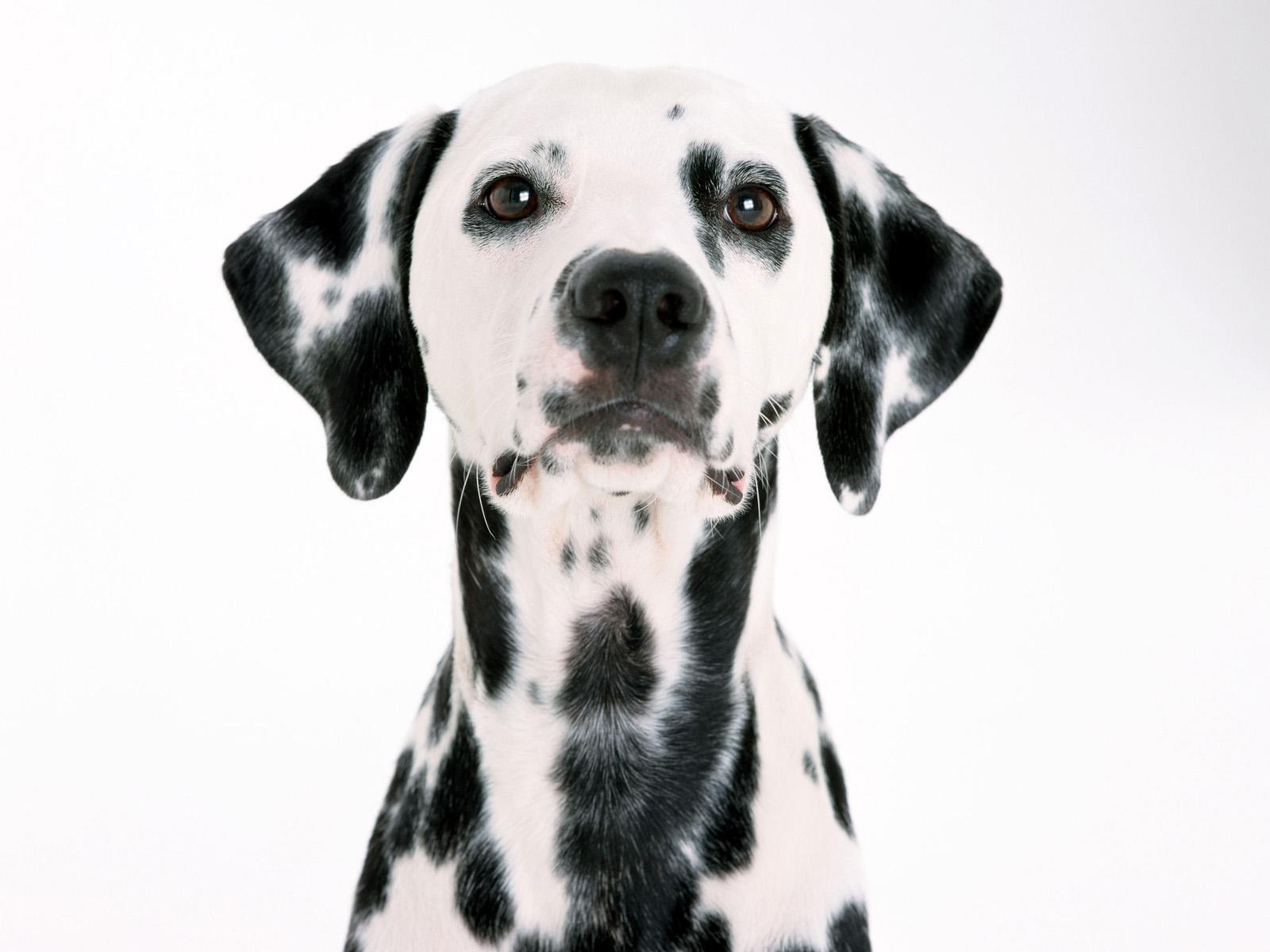 Dalmatian Wallpaper