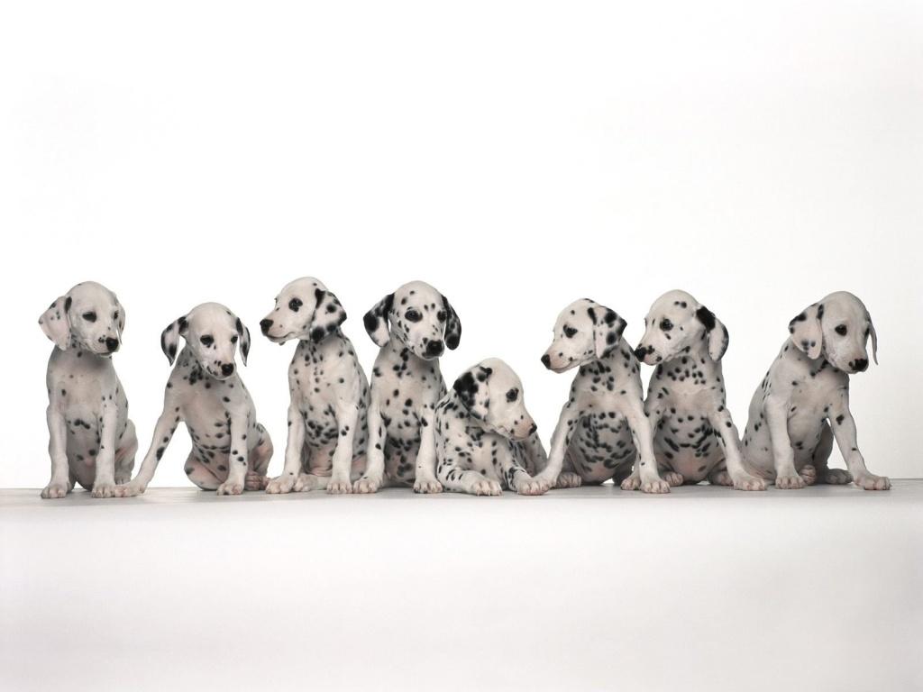 dalmatian dog group hd wallpapers beautiful desktop background images widescreen