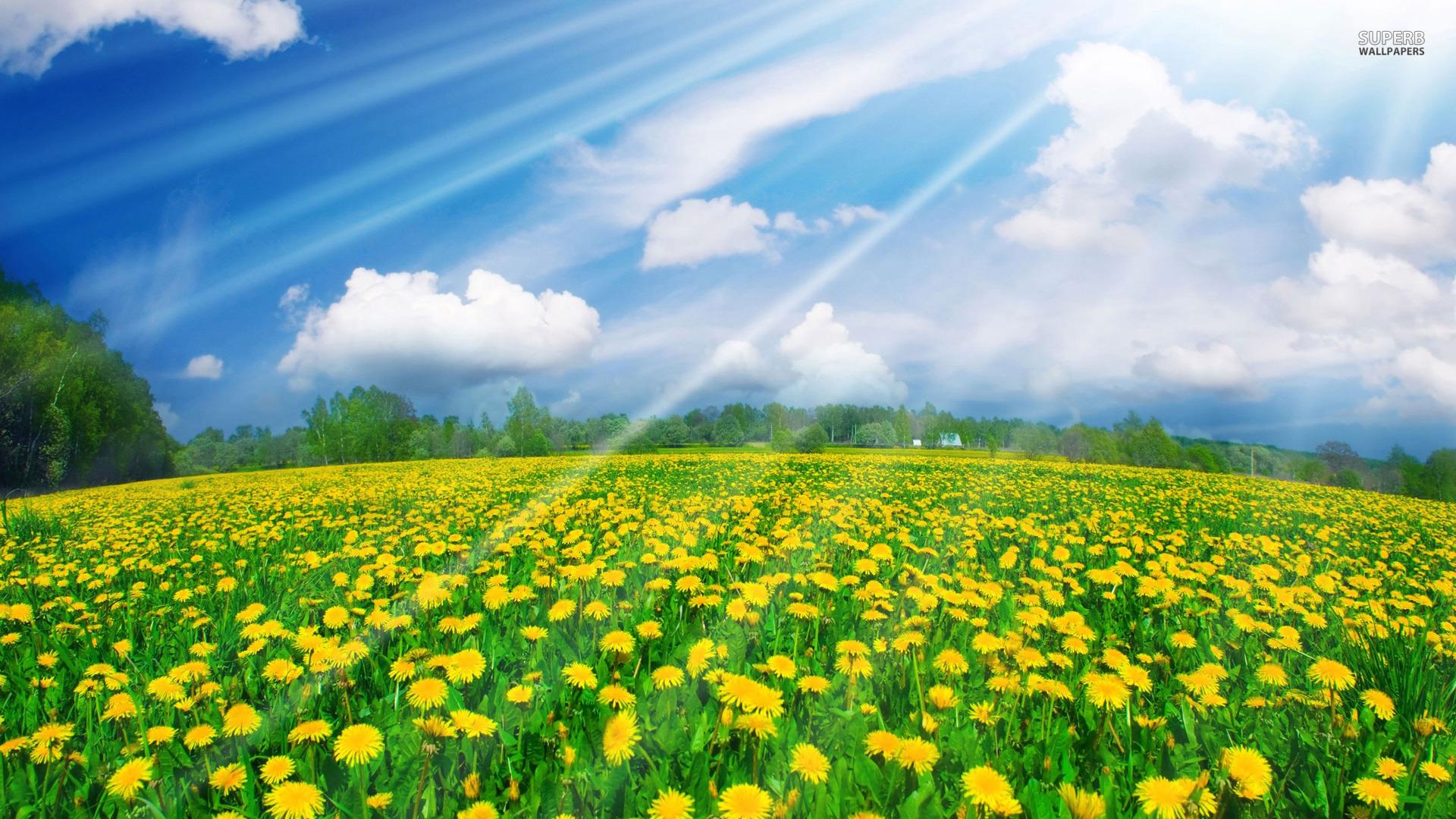 Sunshine Over Dandelion Field HD Desktop wallpaper, images and photos