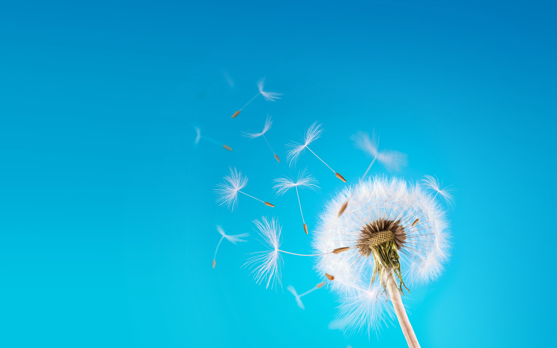 Dandelion Flying Seeds Photo