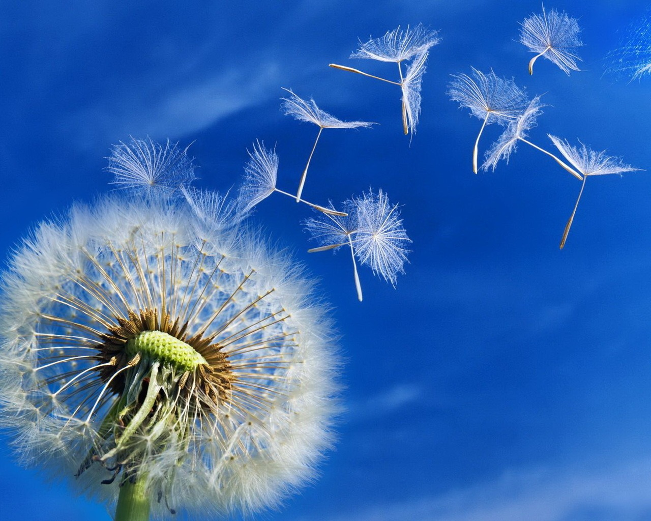Dandelion Seeds 1280x1024 wallpaper