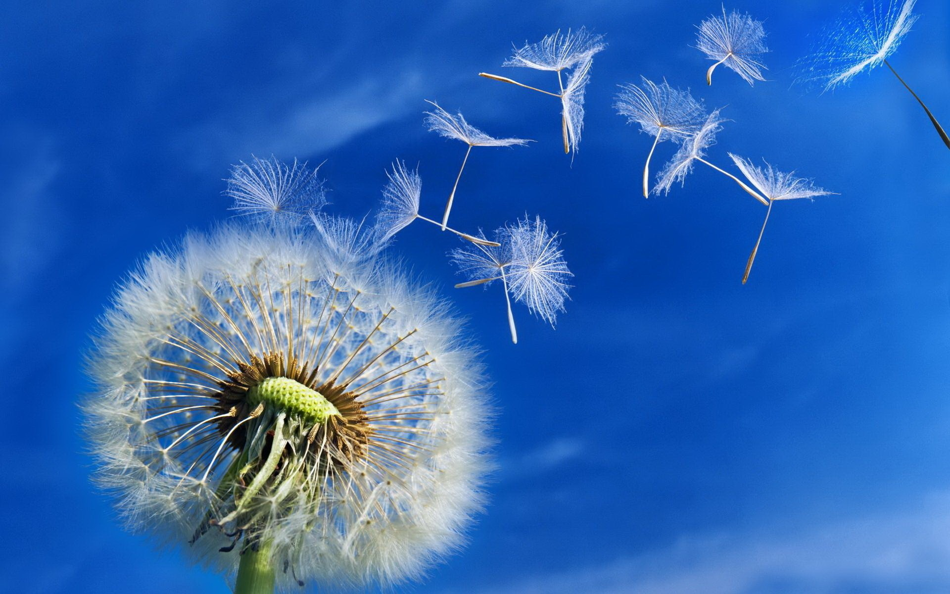 Dandelion Seeds Wallpaper 24006
