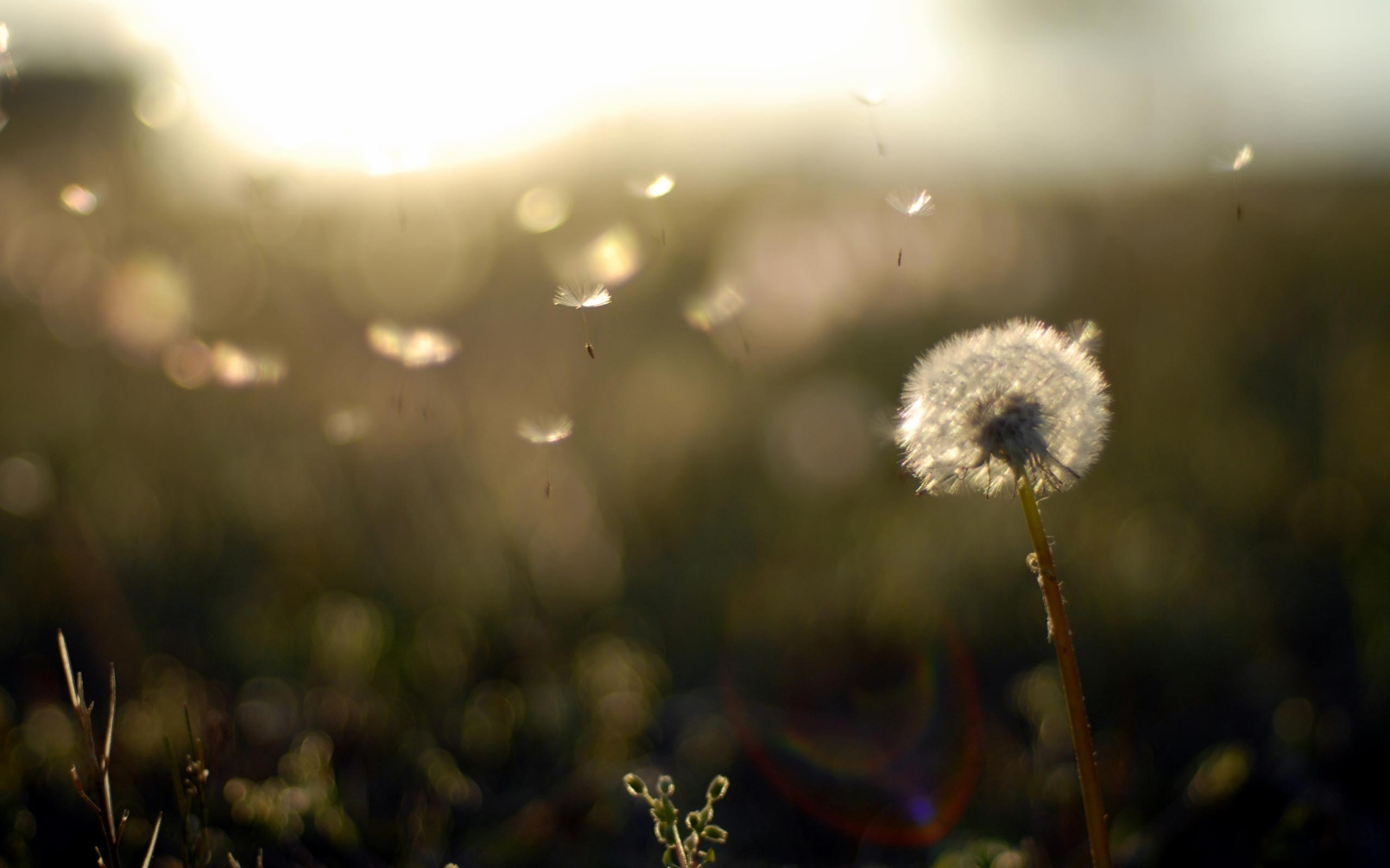 awesome dandelion flower wide hd new wallpaper