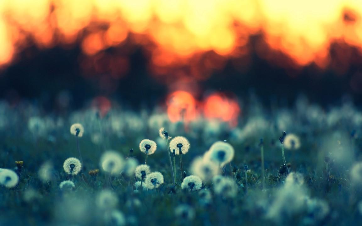 Download Dandelion Field Wallpaper :