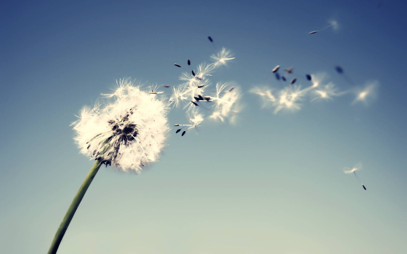 Related Wallpapers: Dandelion