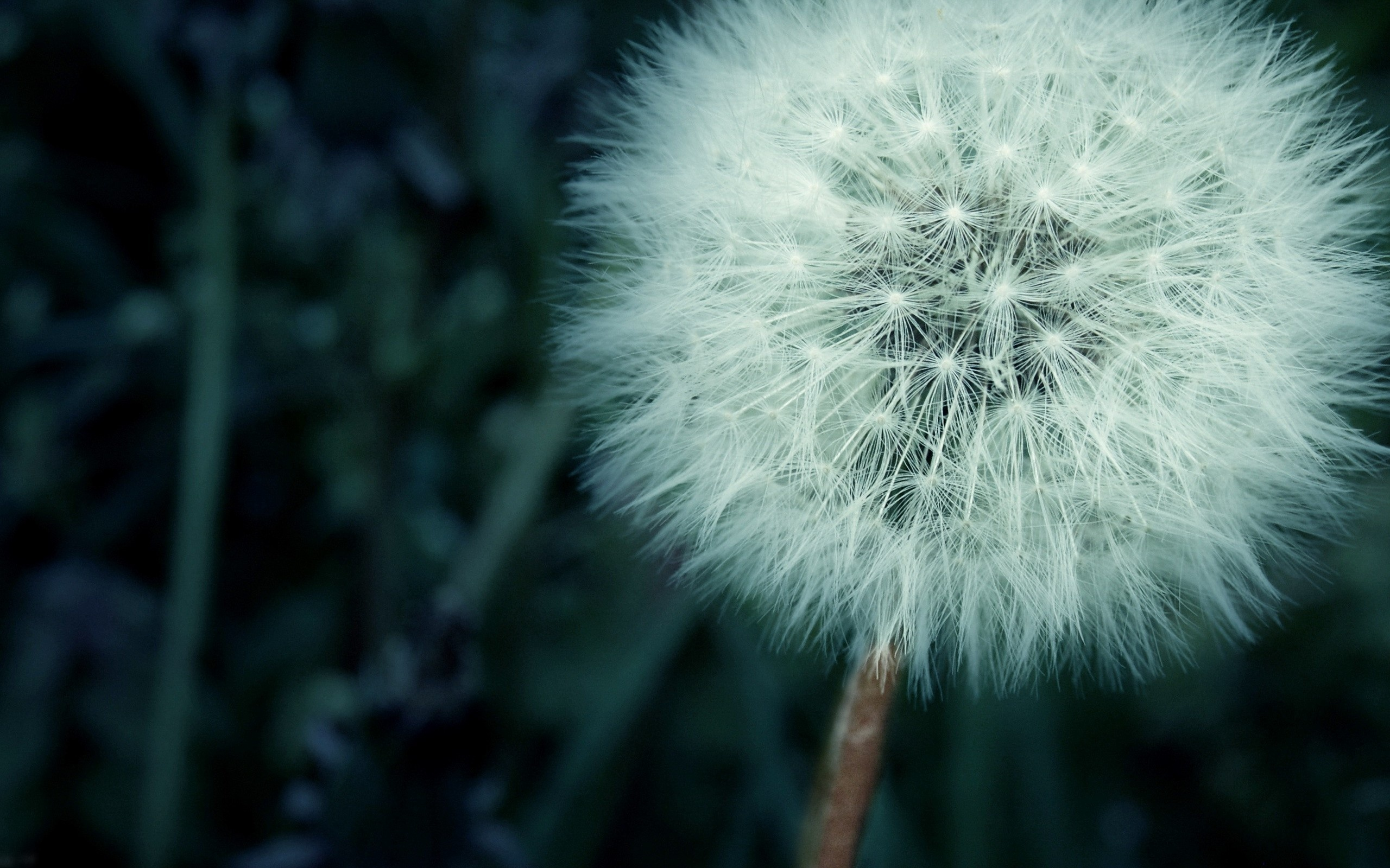 Dandelion Wallpaper; Dandelion Wallpaper ...