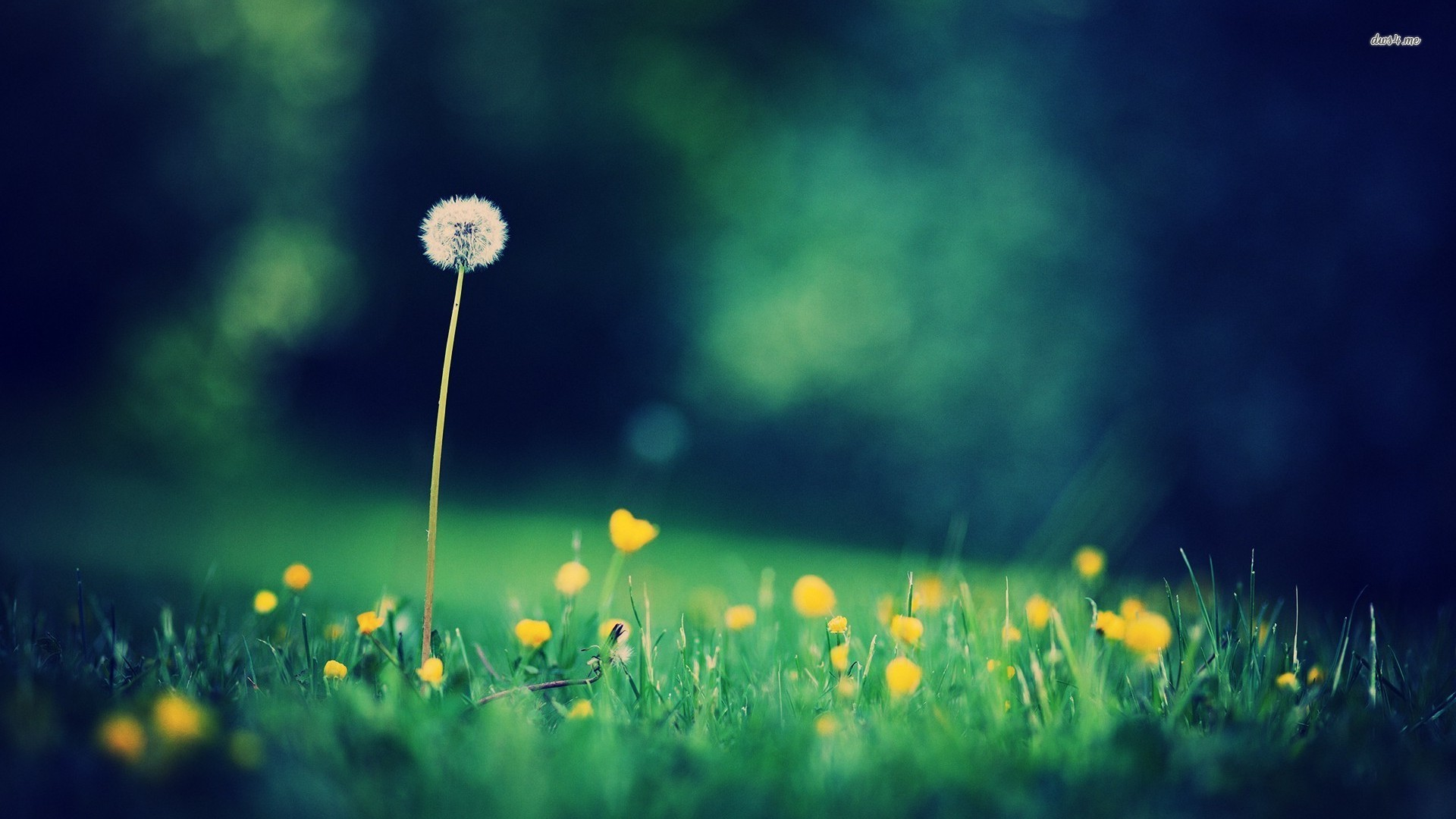 ... Dandelions wallpaper 1920x1080 ...