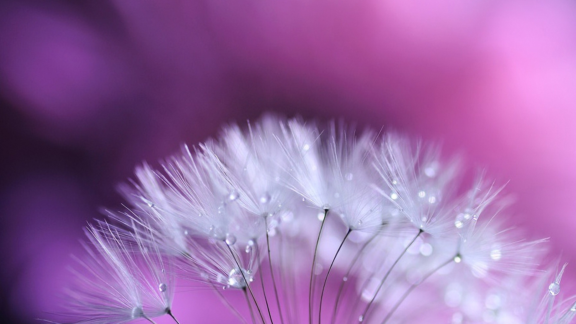 Dandelion High Quality Wallpaper
