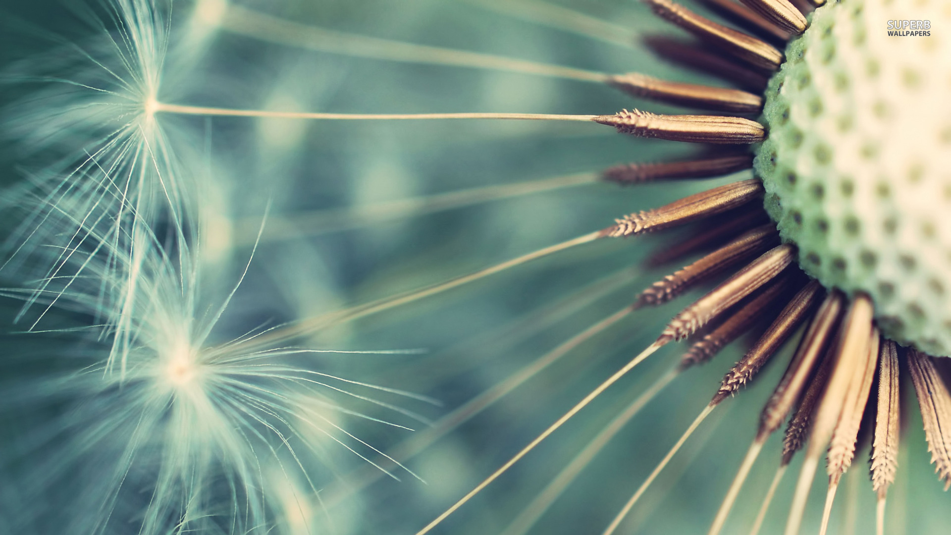 Dandelion close up wallpaper 1920x1080