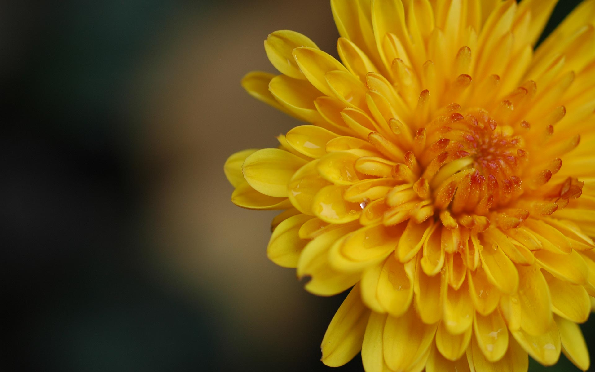 ... Yellow Dandelion Wallpaper HD