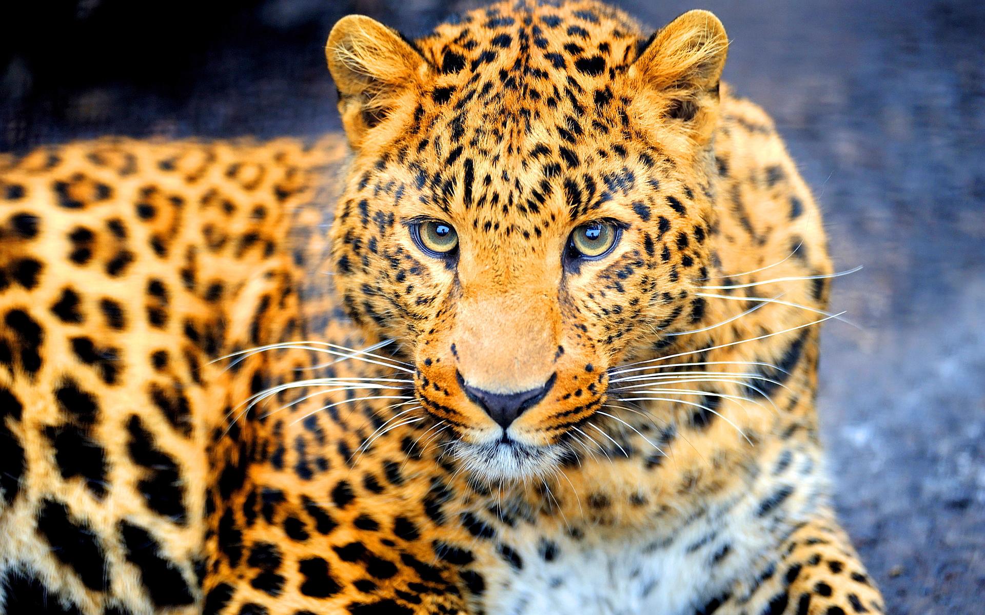 Dangerous jaguar