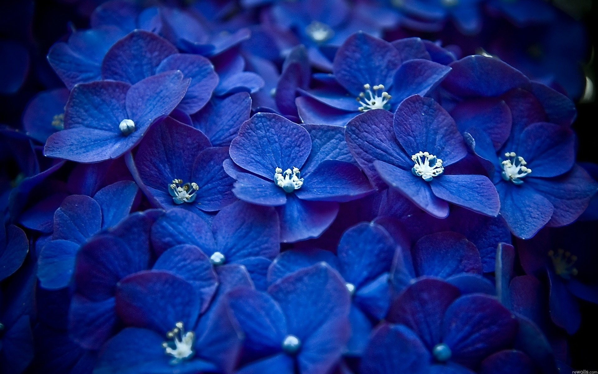 Dark Blue Flowers 4974