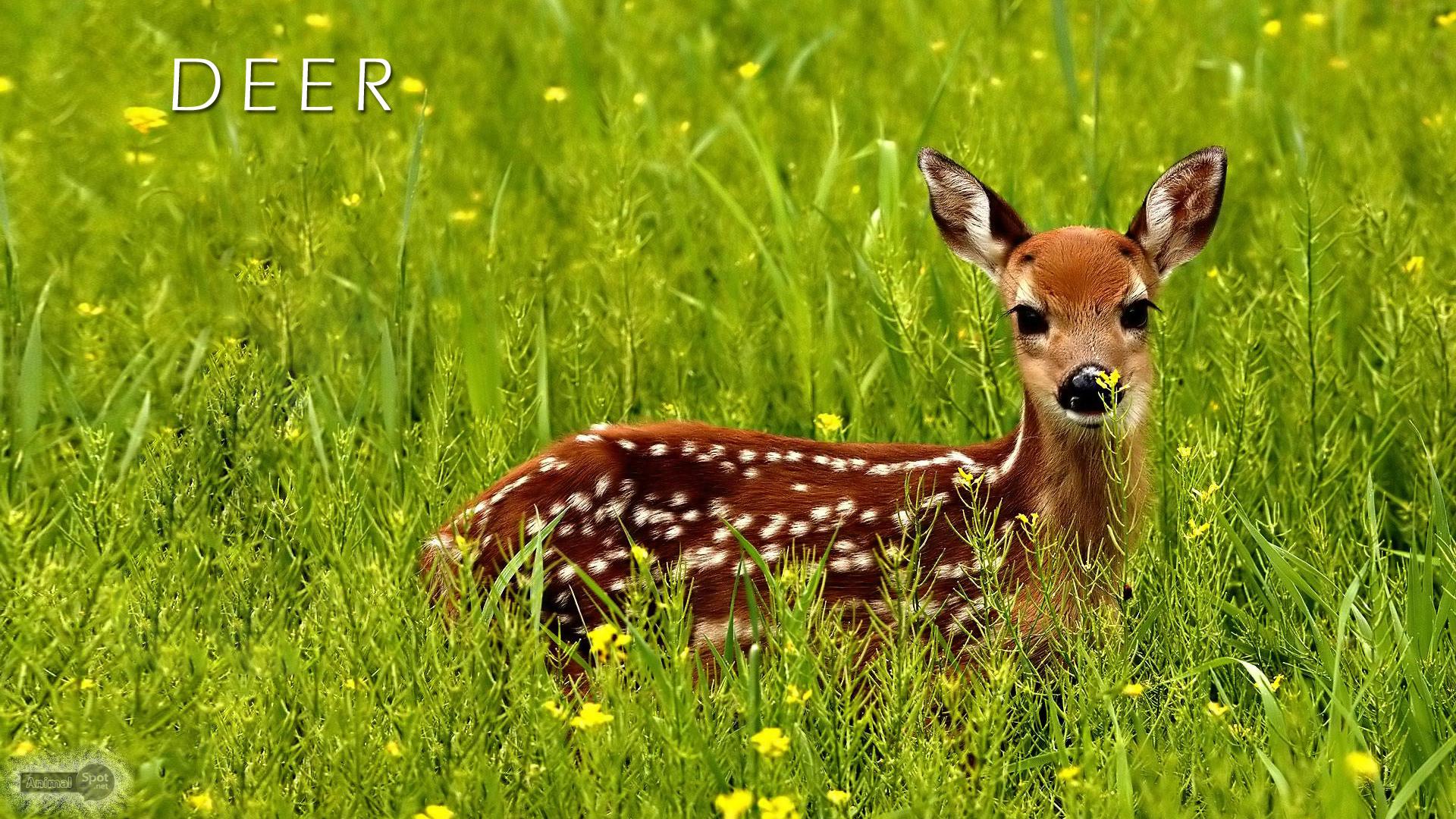 Baby Deer Wallpaper
