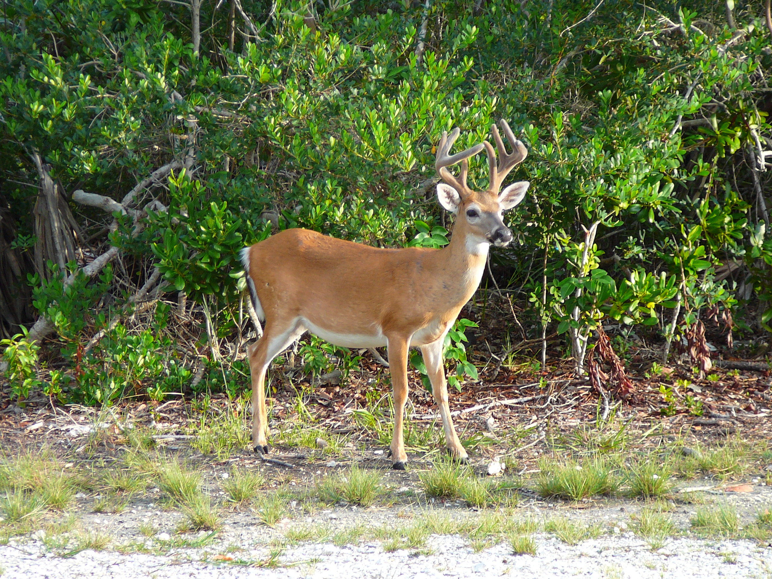 Key deer male.jpg