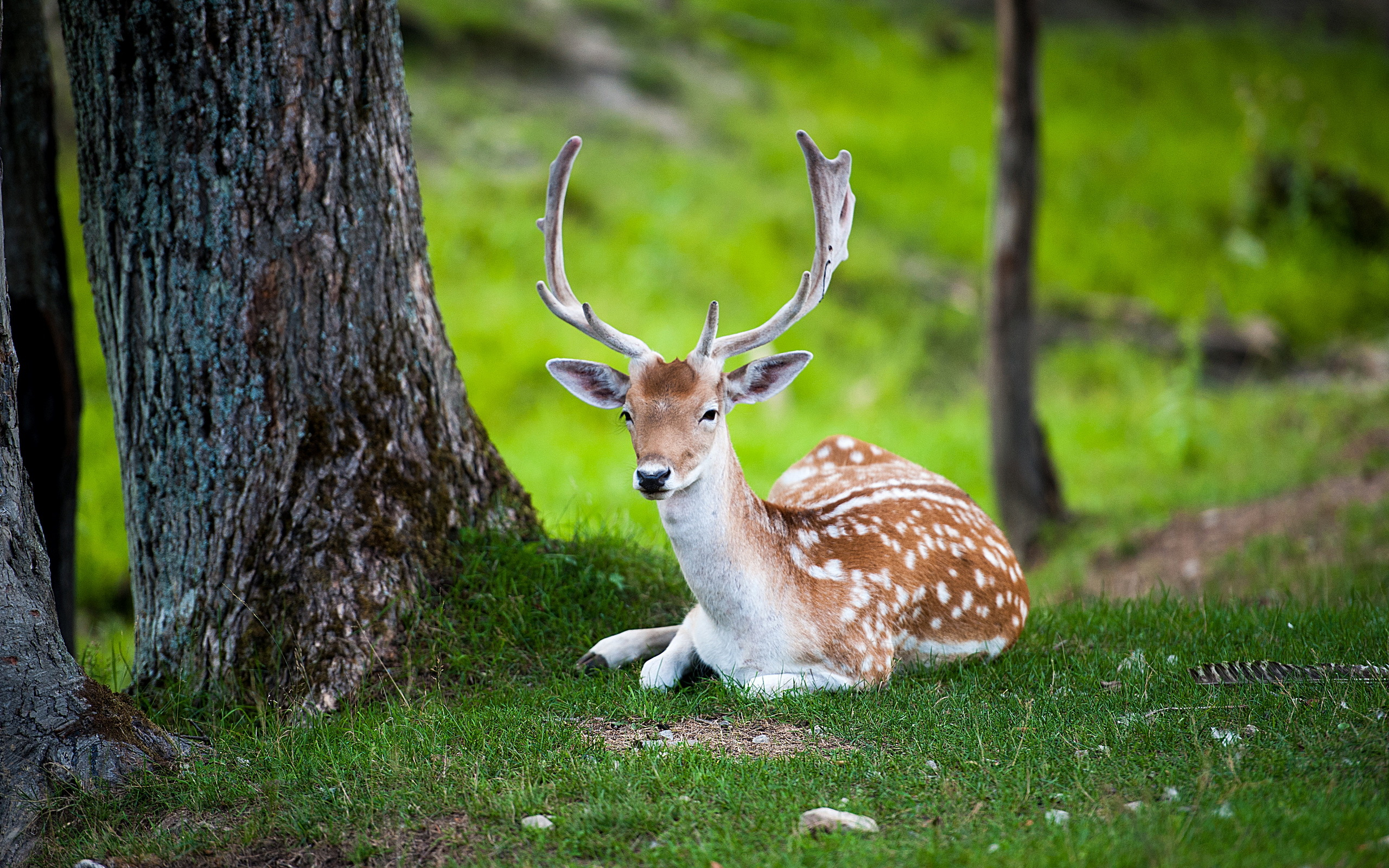 Deer Animals Nature