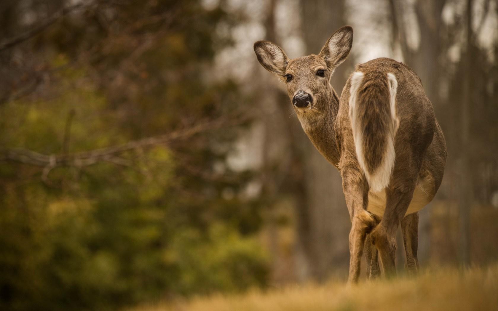 Deer Forest Nature