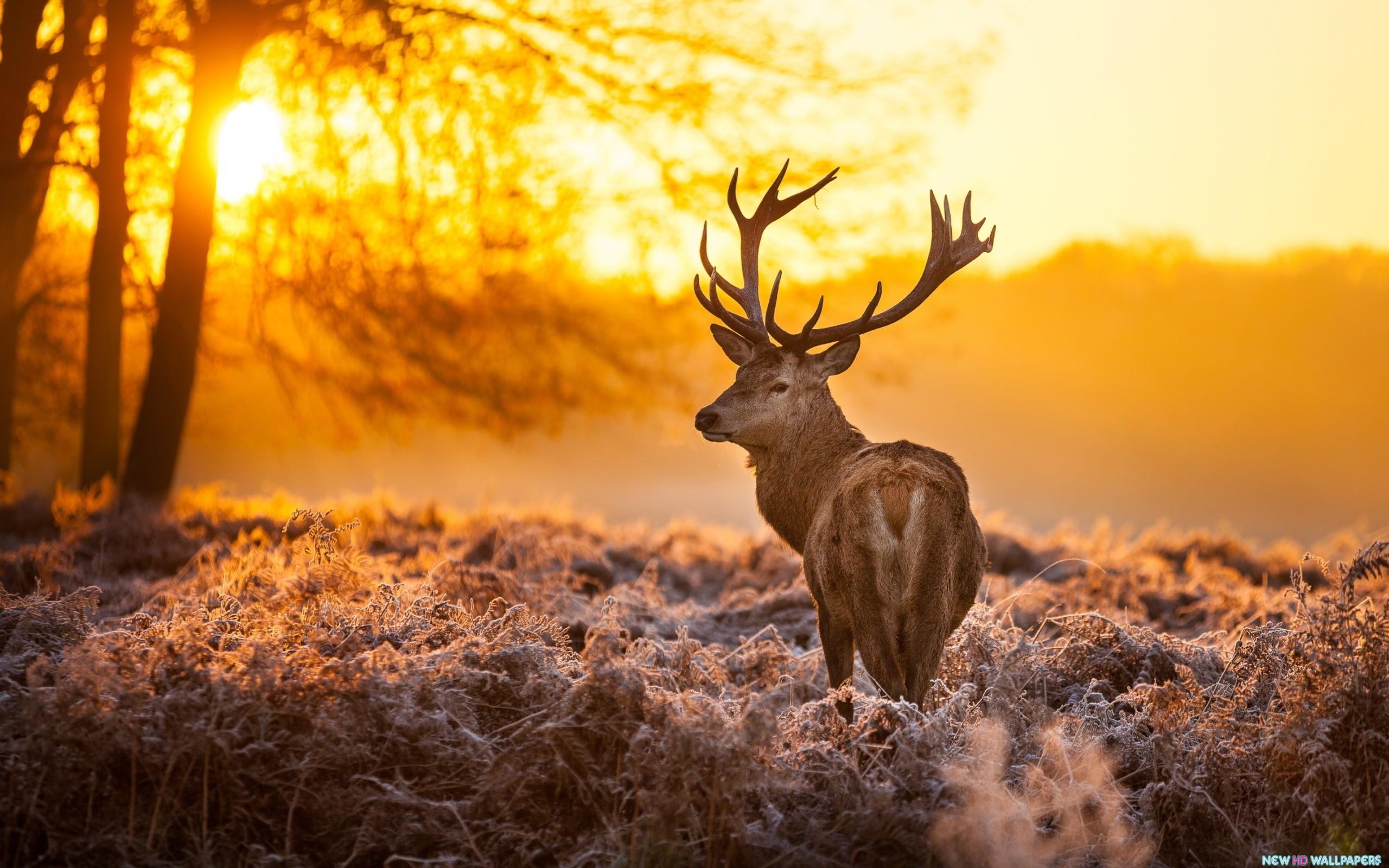 Deer Sunset Time HD wallpaper 2560x1600 ...