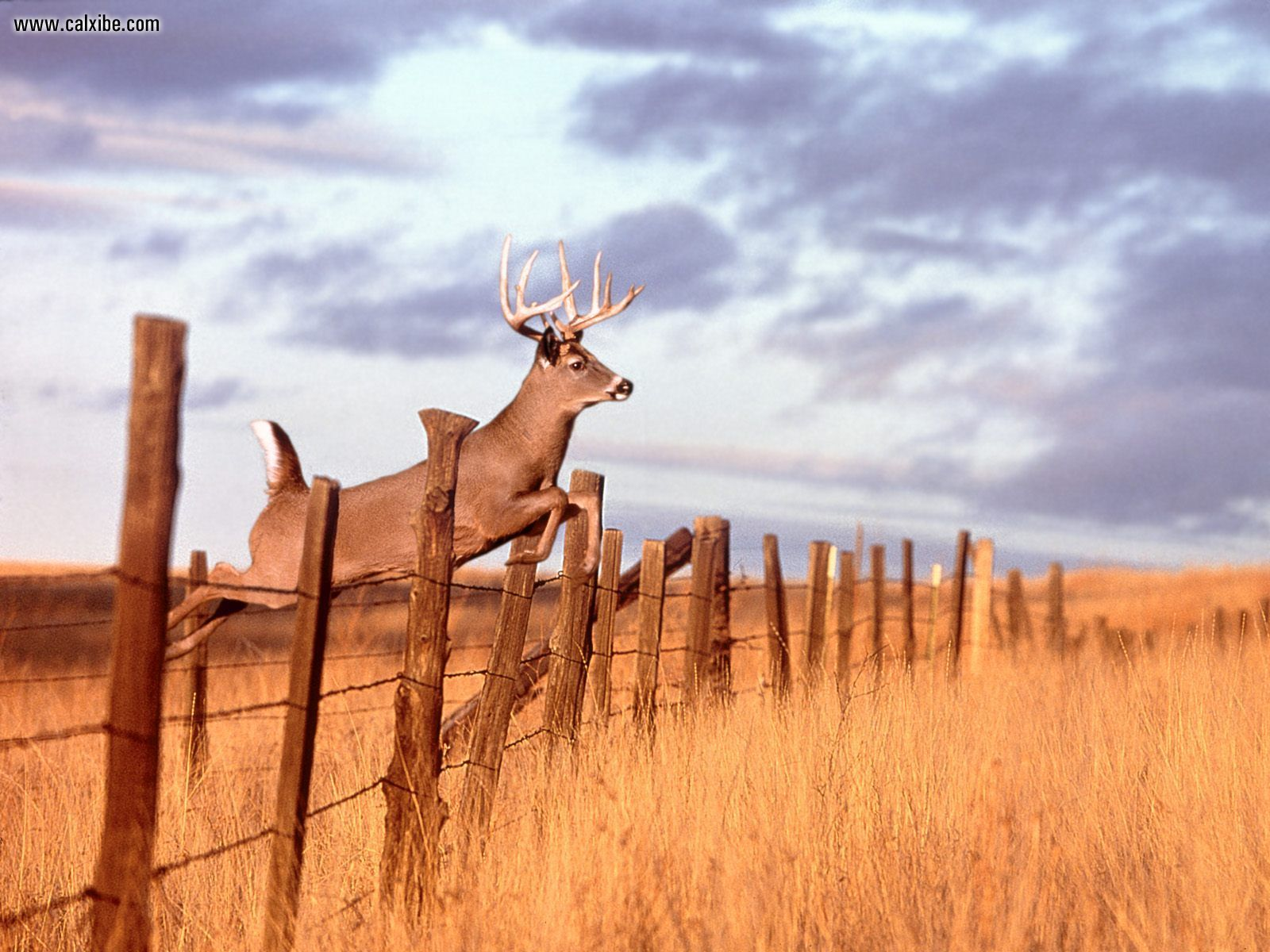 Whitetail Buck Deer Animal