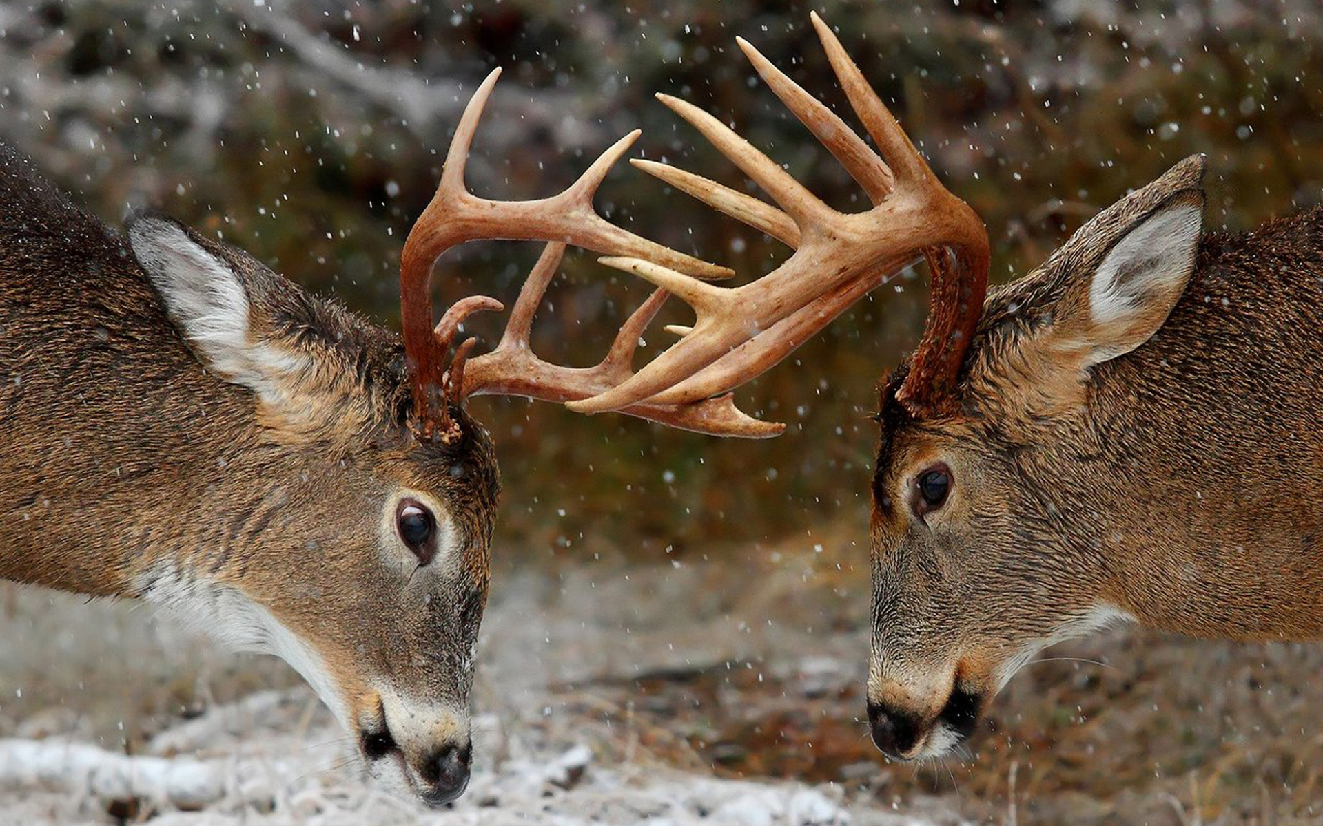 deer top images hd wallpapers
