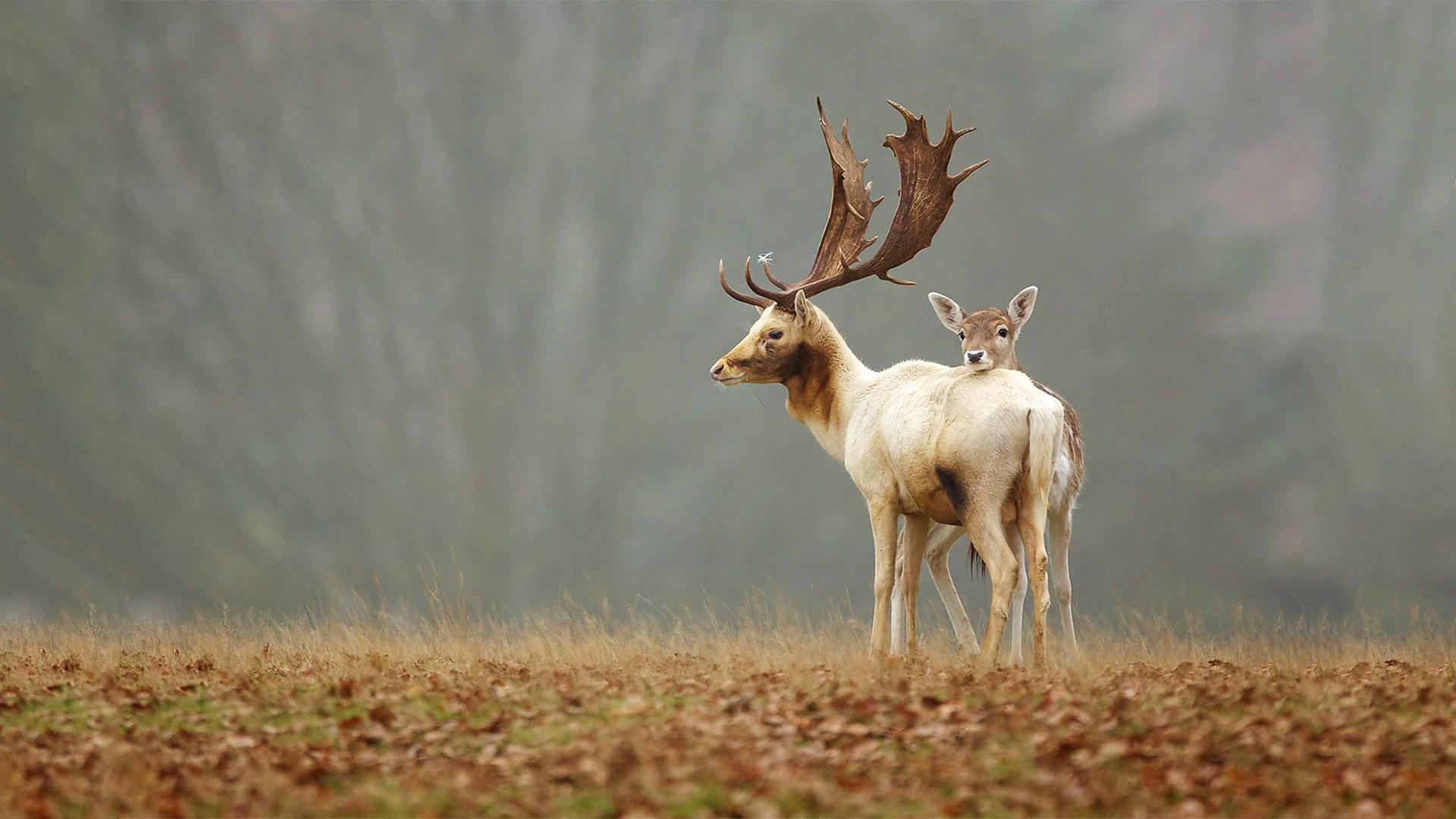 Deer latest hd wallpapers | Only hd wallpapers