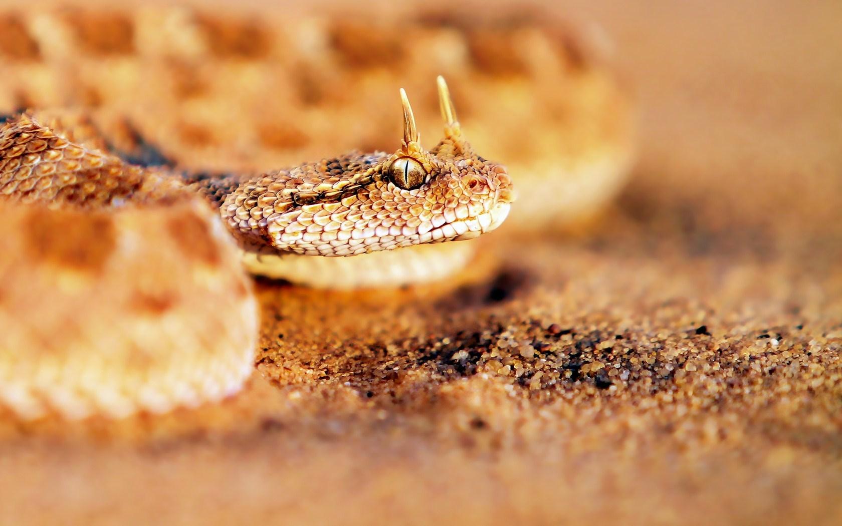 Desert Horned Viper Sand