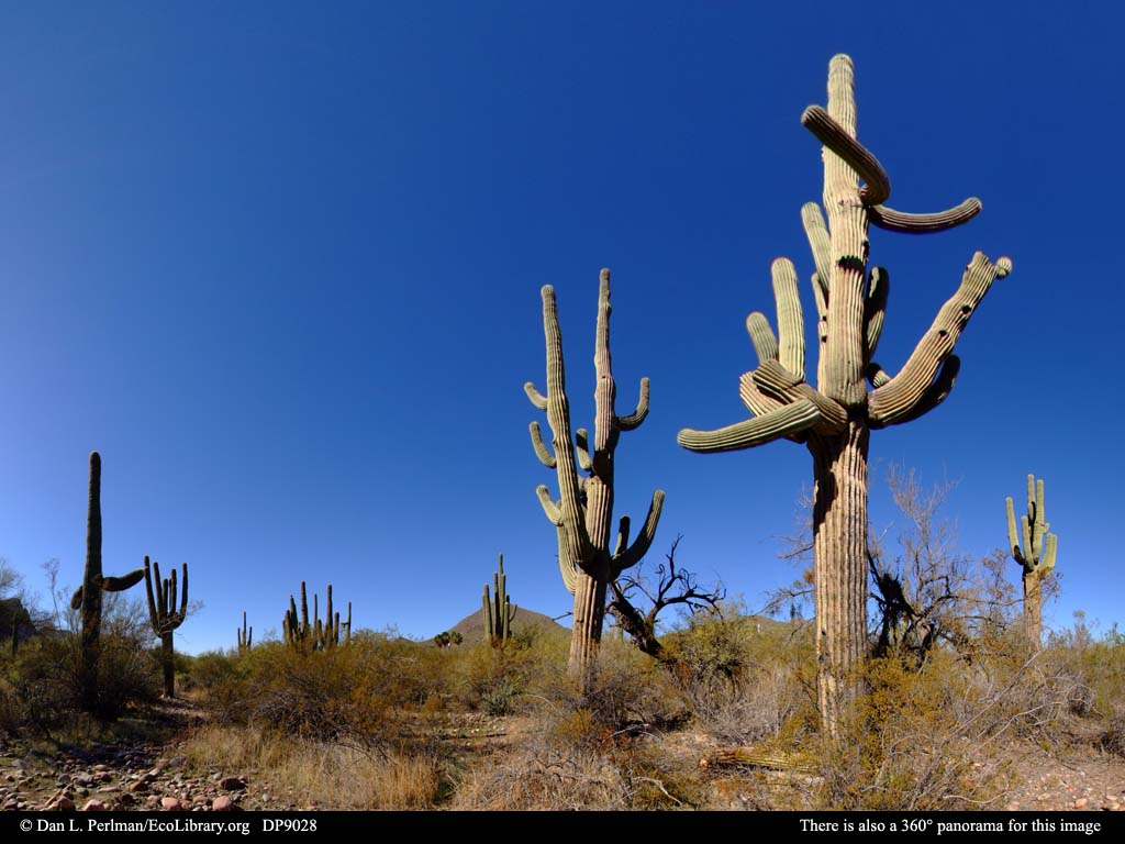 Panorama of Sonoran Desert vegetation, Arizona