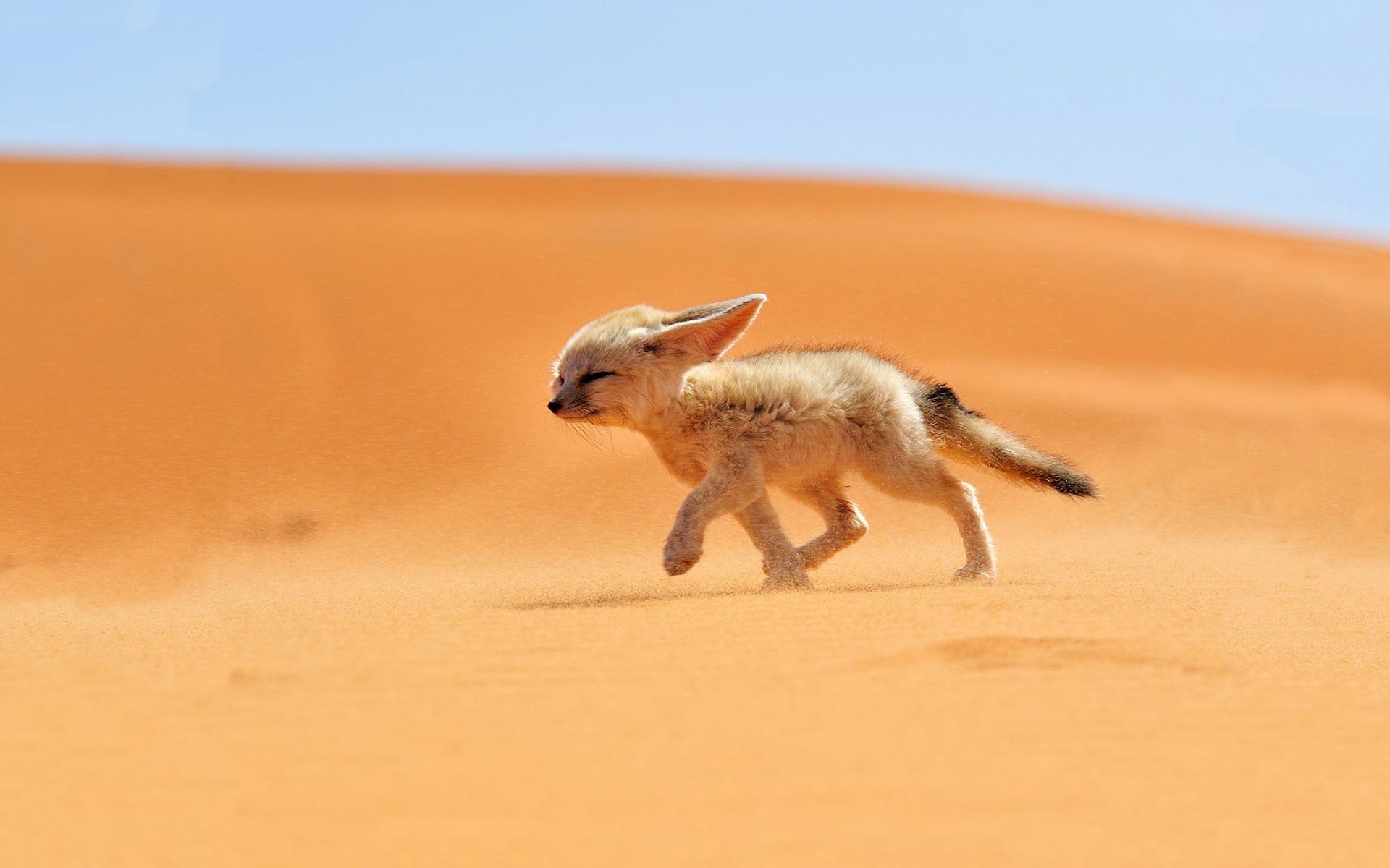 fox desert
