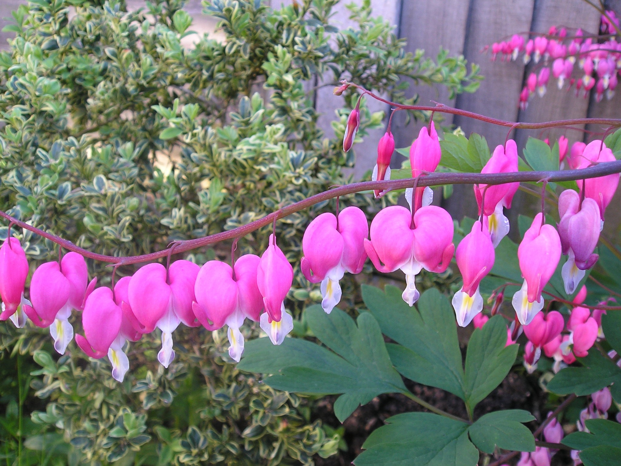 Dicentra Bleeding-Heart
