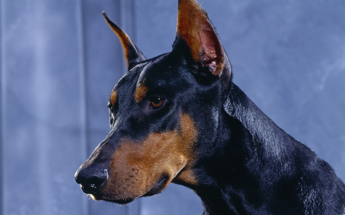 Service Dog Breeds: Doberman Pinscher - Anything PawsableAnything Pawsable
