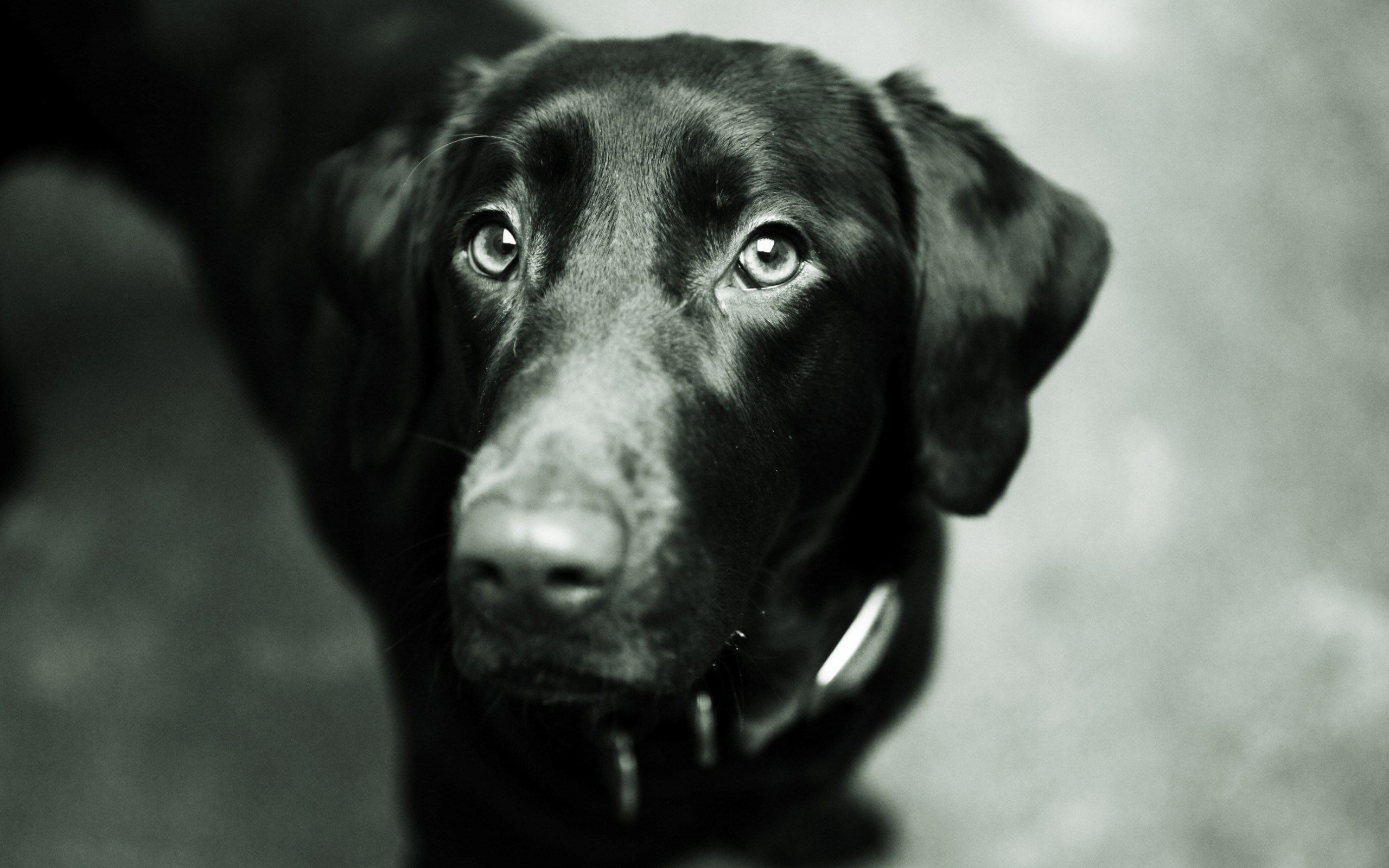 Dog Black Labrador Retriever Look