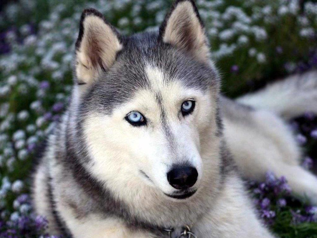 Blue eyes dog flower wolf 1024x768