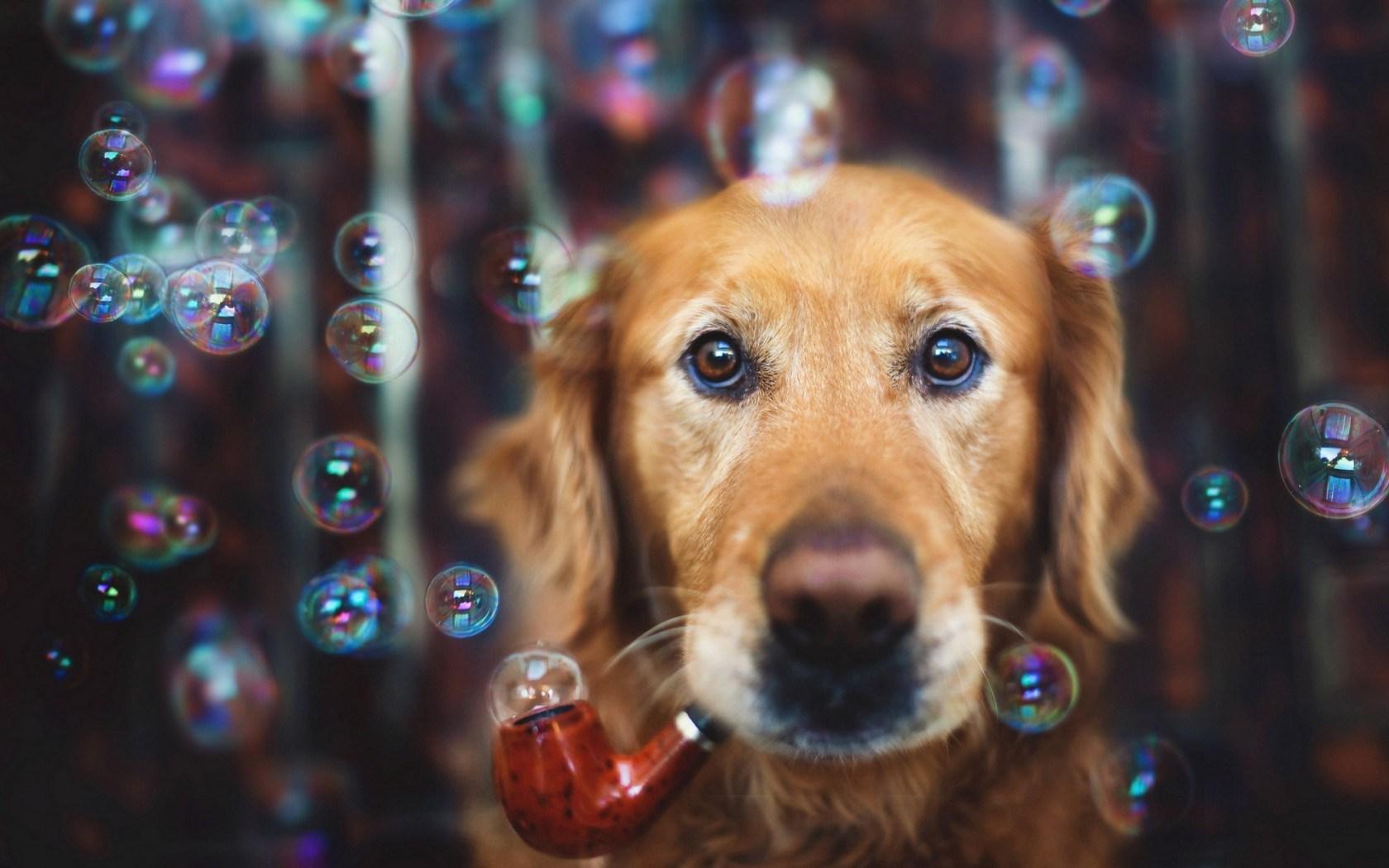 Dog Bubbles Look Wallpaper 44121 1680x1050 px