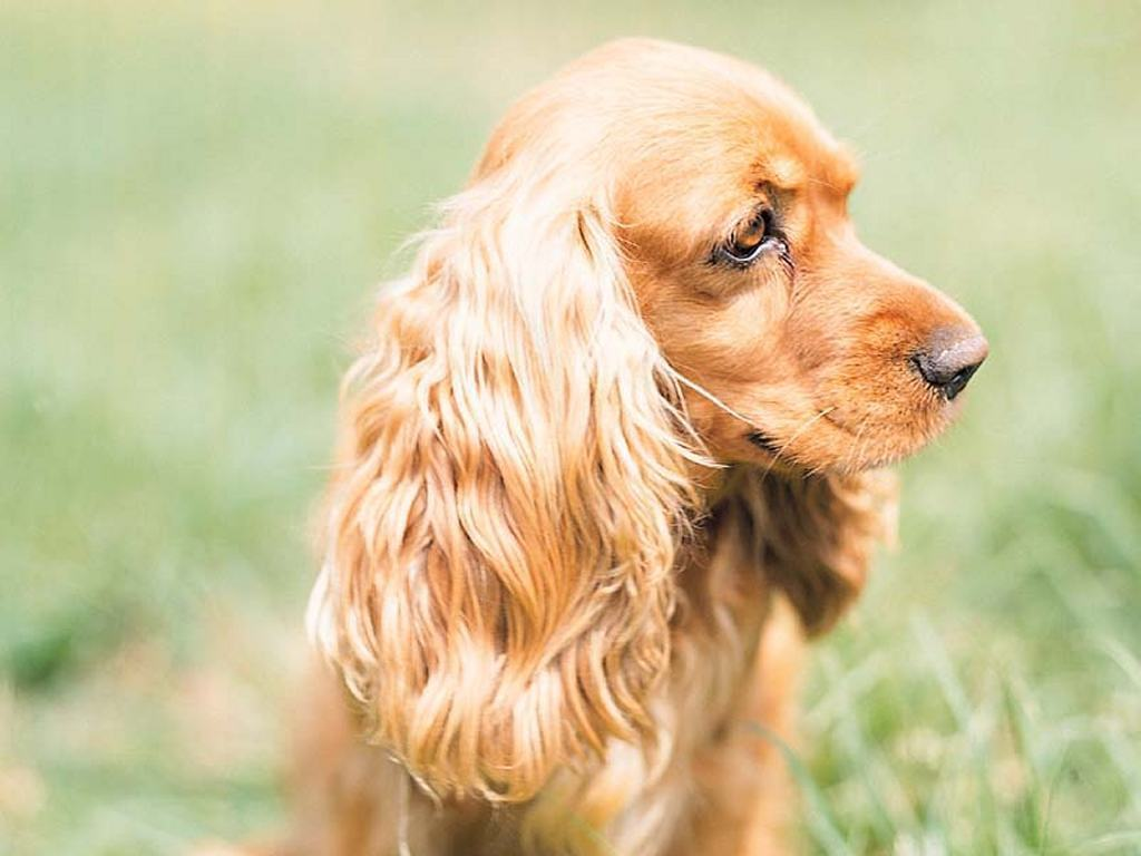Dogs Cocker Spaniel