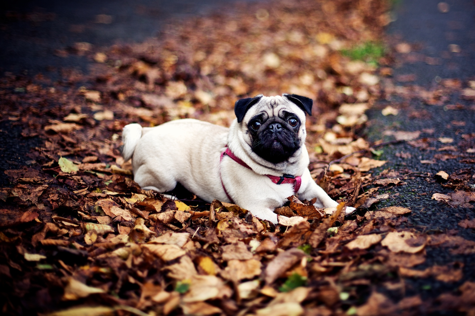 Pug, dog, fall, leaves