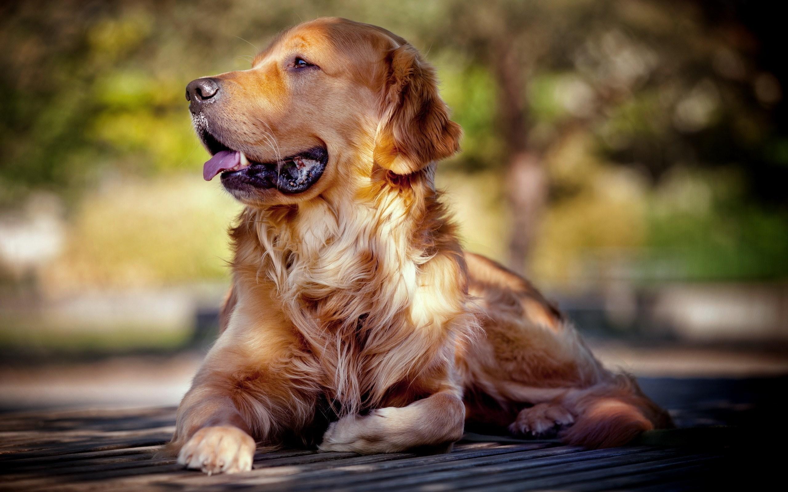 Dog Friend Golden Retriever
